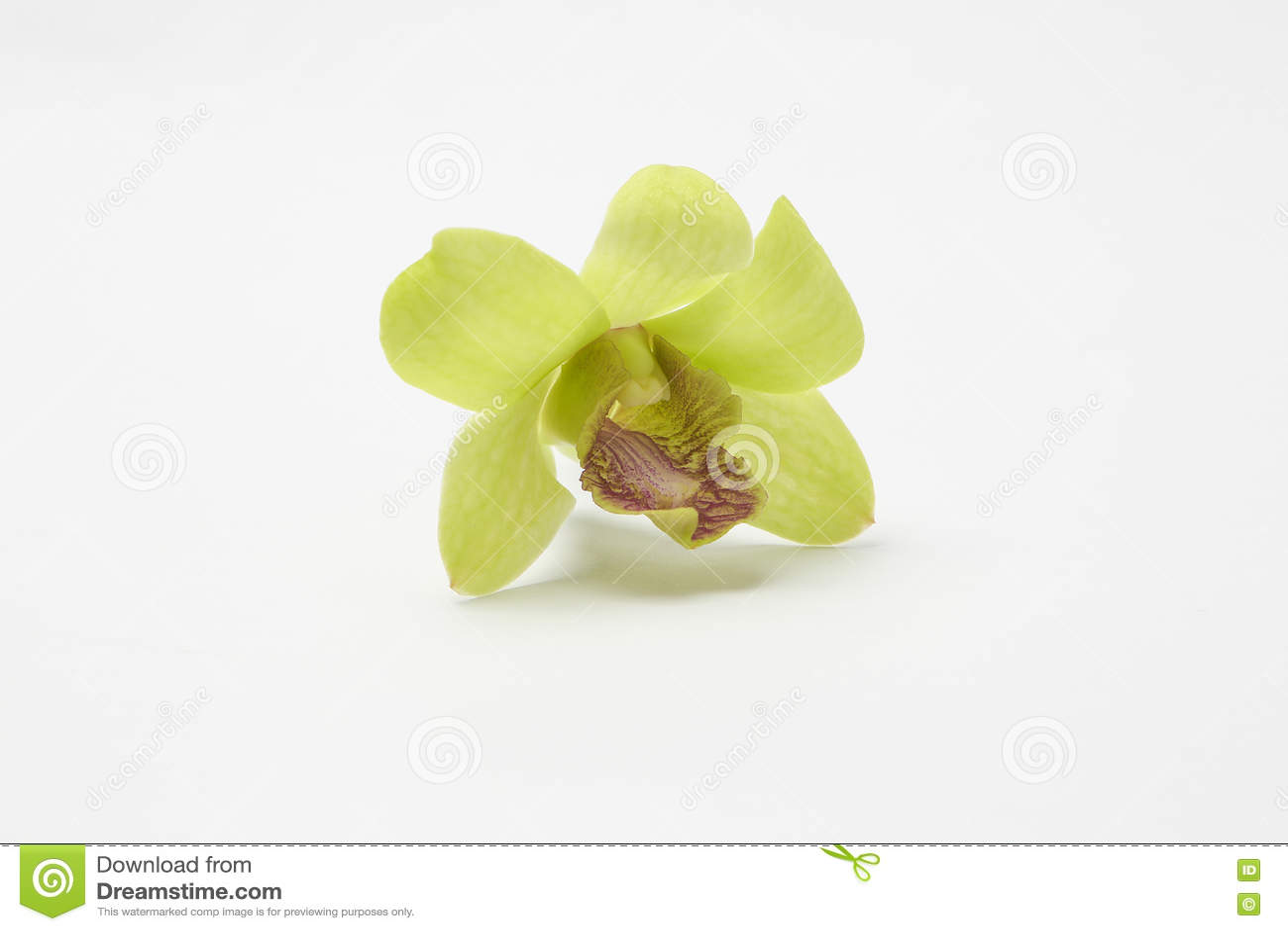 Fleurs cireuses blanches vertes d orchidée