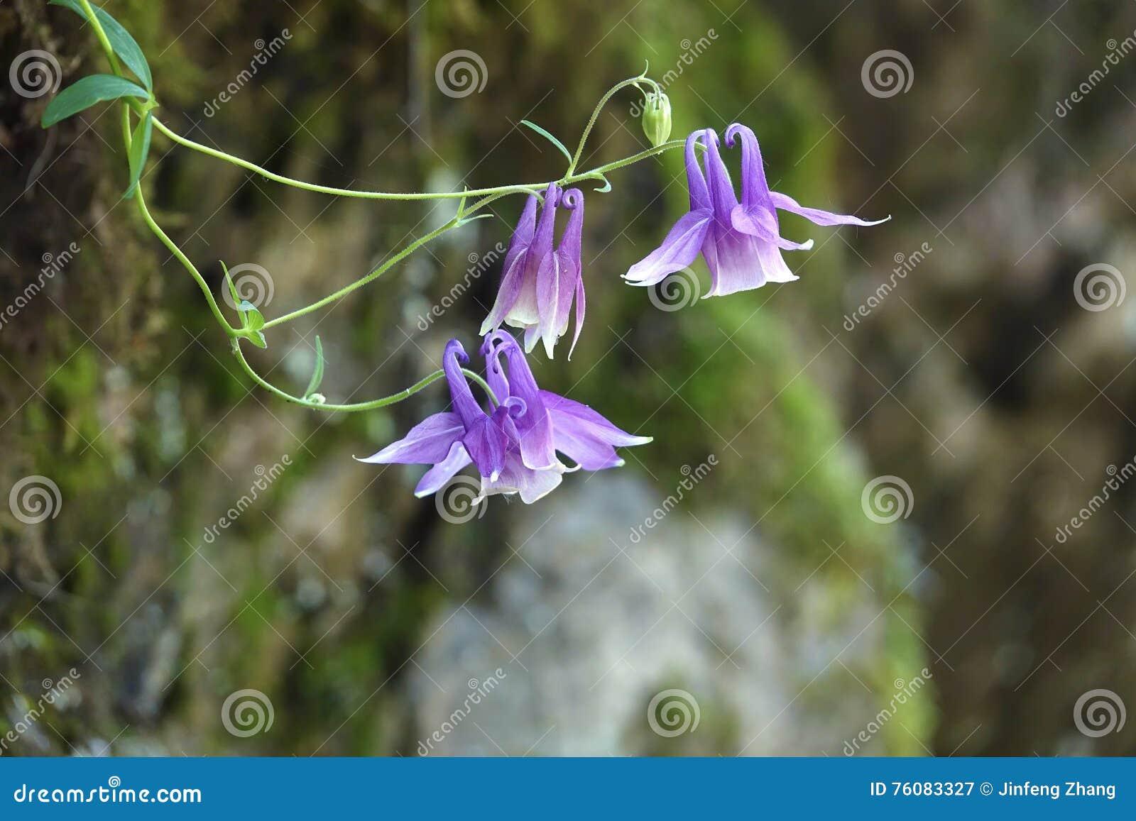 Fleurs colombines sauvages