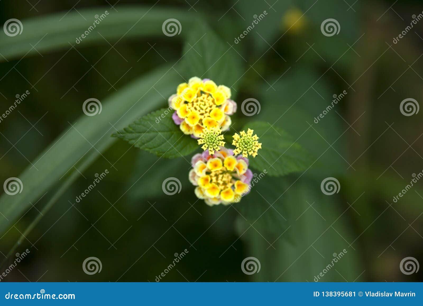 Fleurs colorées de camara de Lantana
