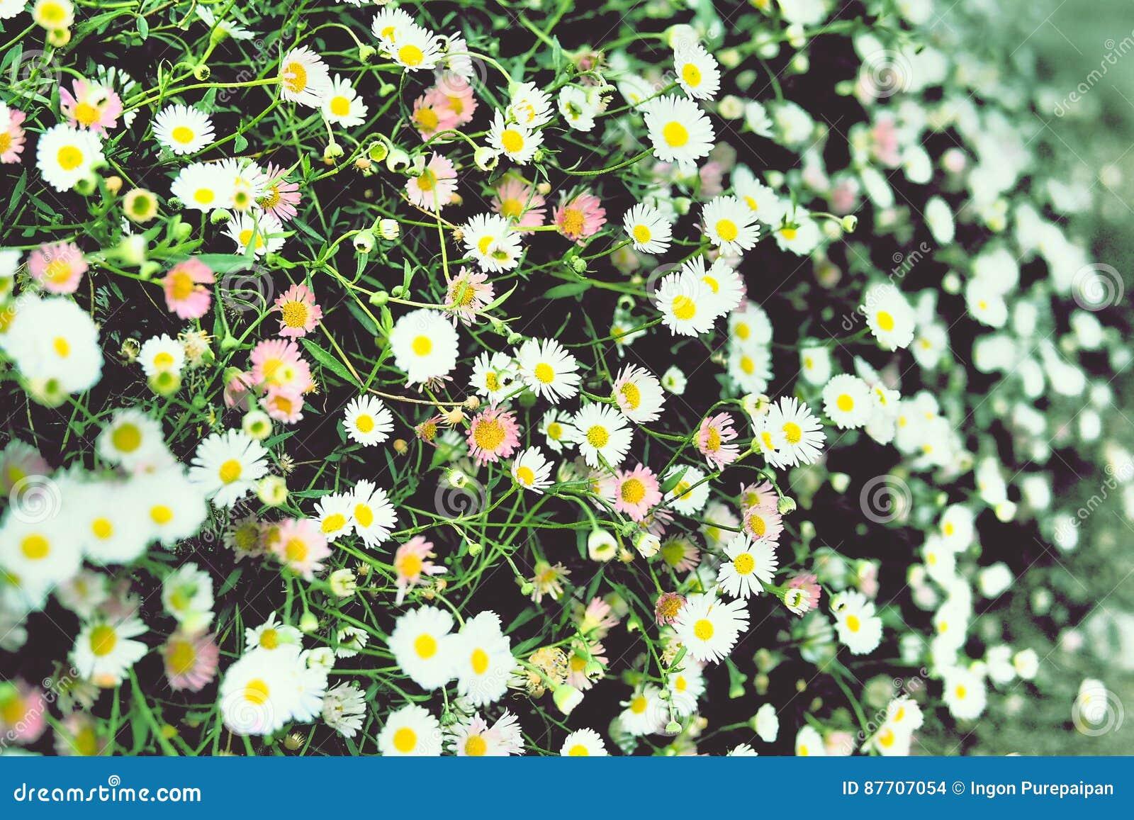 Fleurs colorées de marguerites