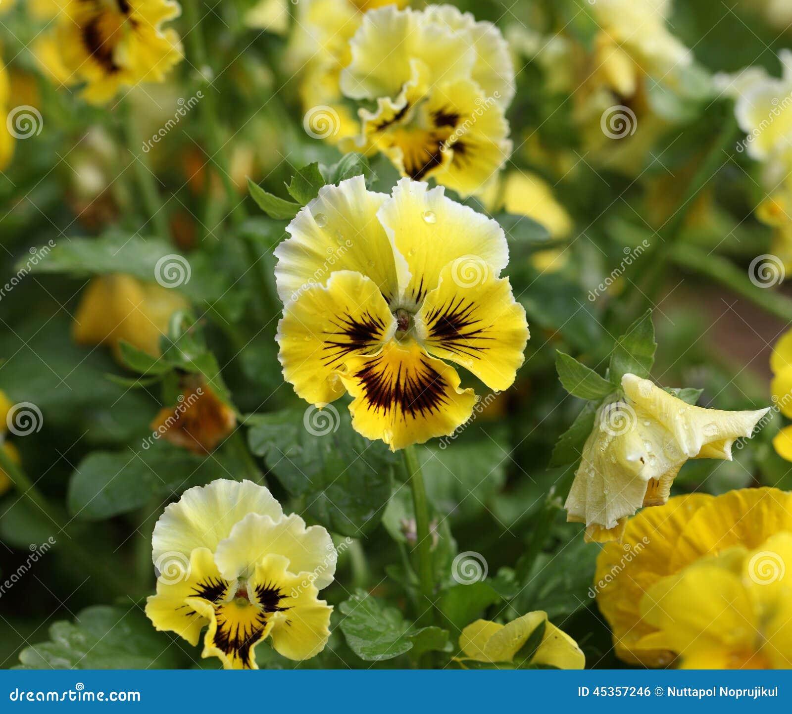 Fleurs colorées et vibrantes de pensée