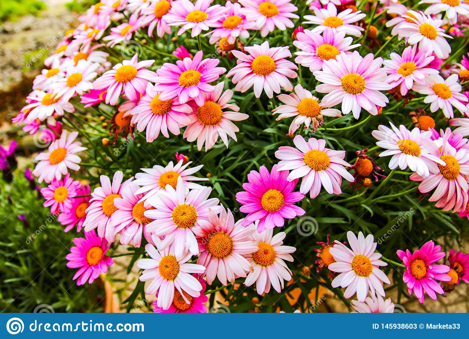 Fleurs colorées très belles au printemps