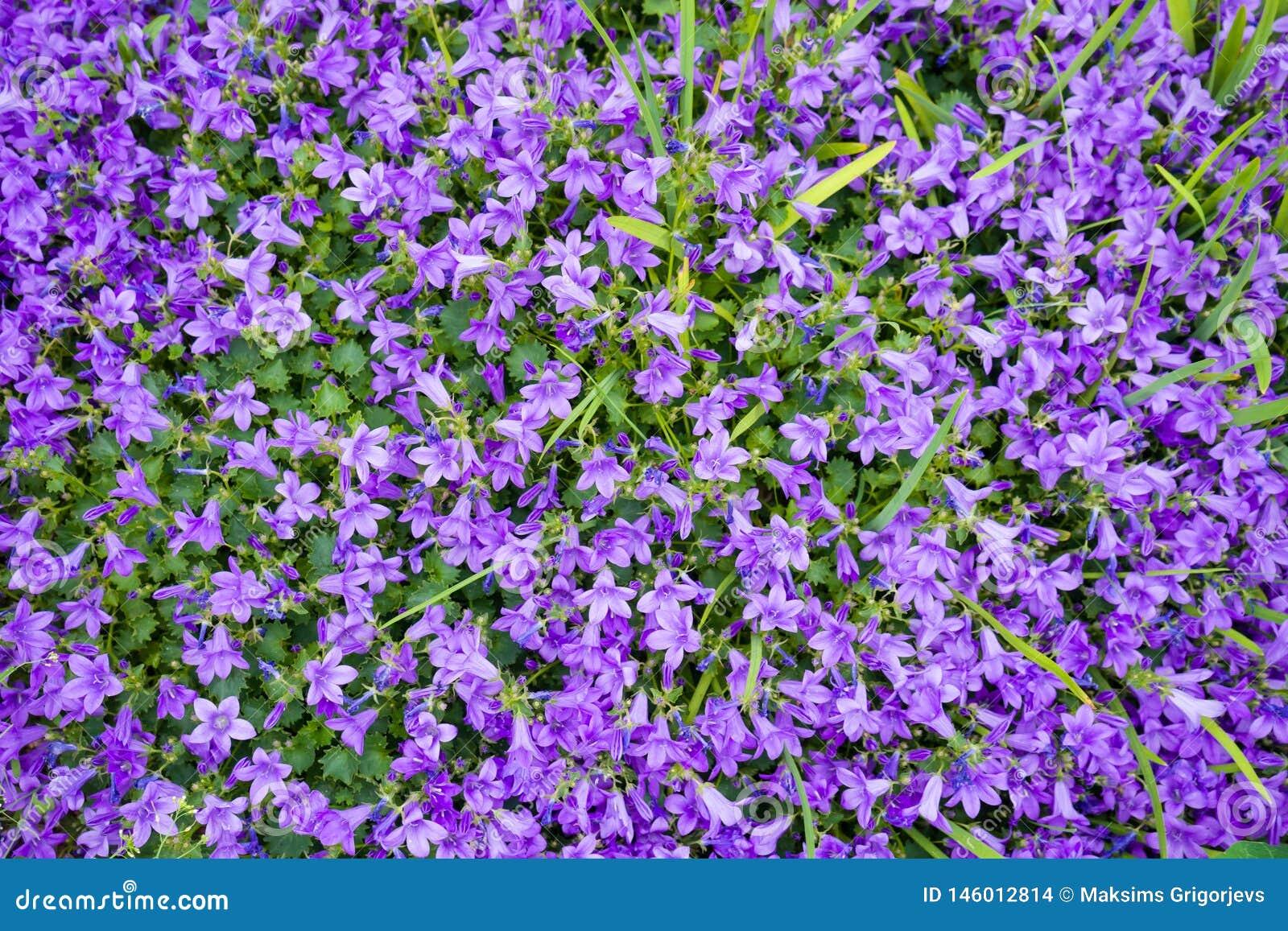 Fleurs colorées violettes de muralis de campanule comme fond s élevant dans le jardin