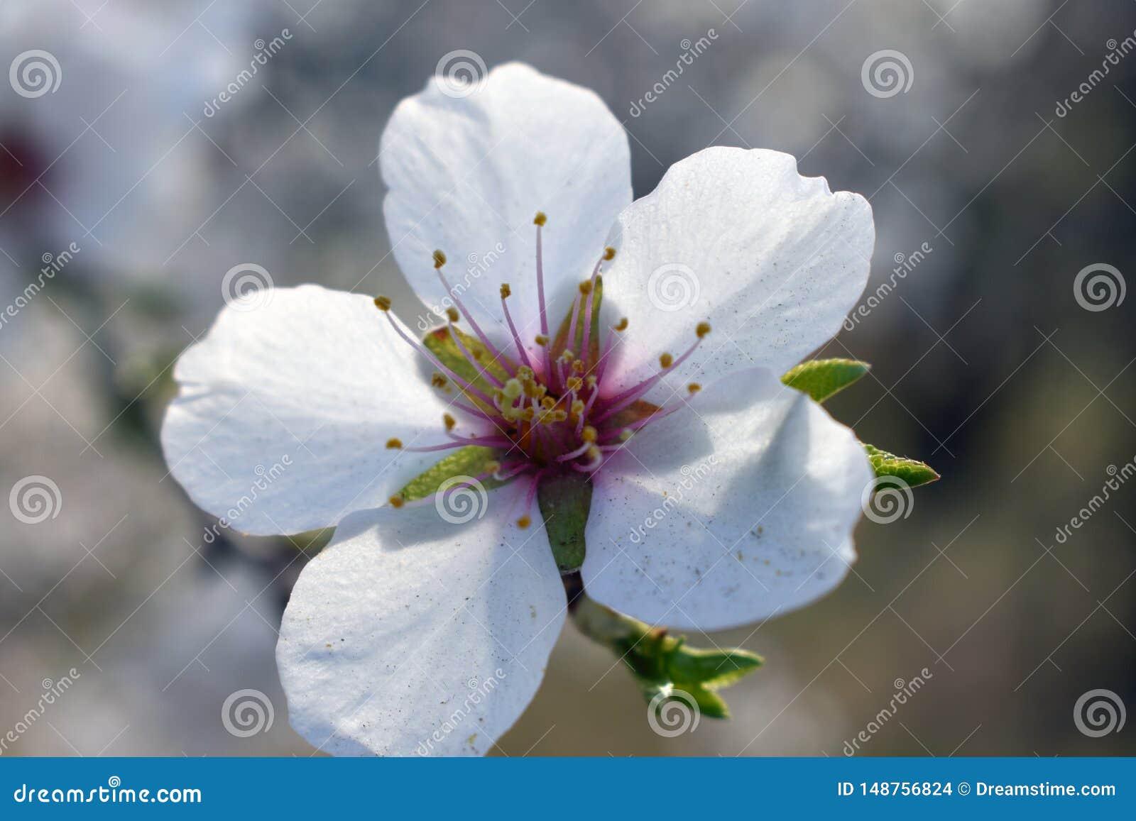 Fleurs d amande en hiver