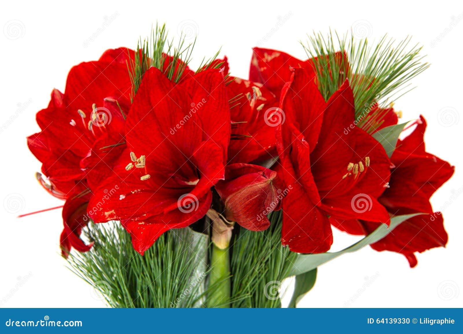 Fleurs d 39 amaryllis no l rouge fleurit le bouquet photo for Les amaryllis fleurs