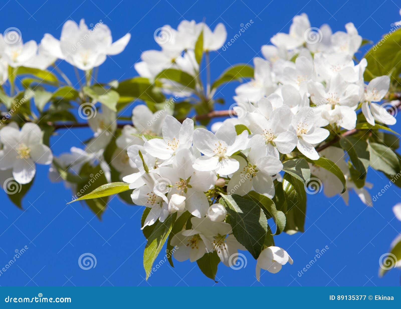 fleurs d 39 apple arbre jardin de ressort arbre de floraison pommier de fleur belle floraison des. Black Bedroom Furniture Sets. Home Design Ideas