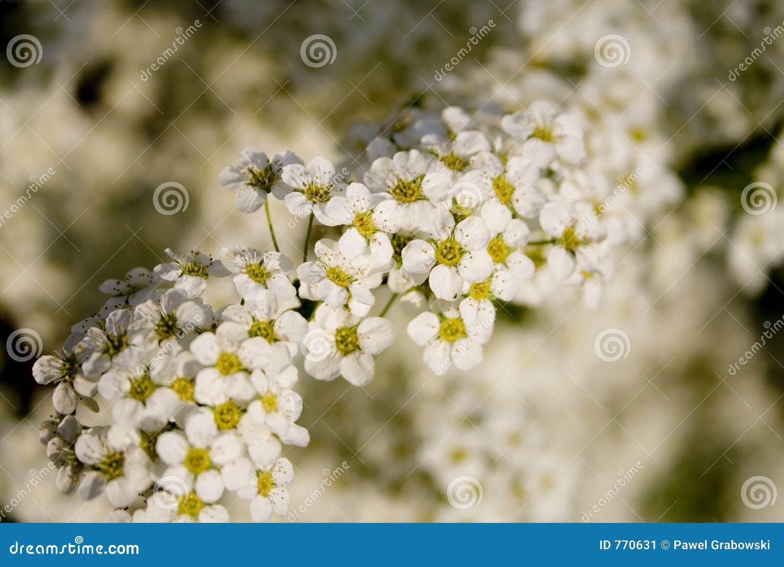 Fleurs d arbre
