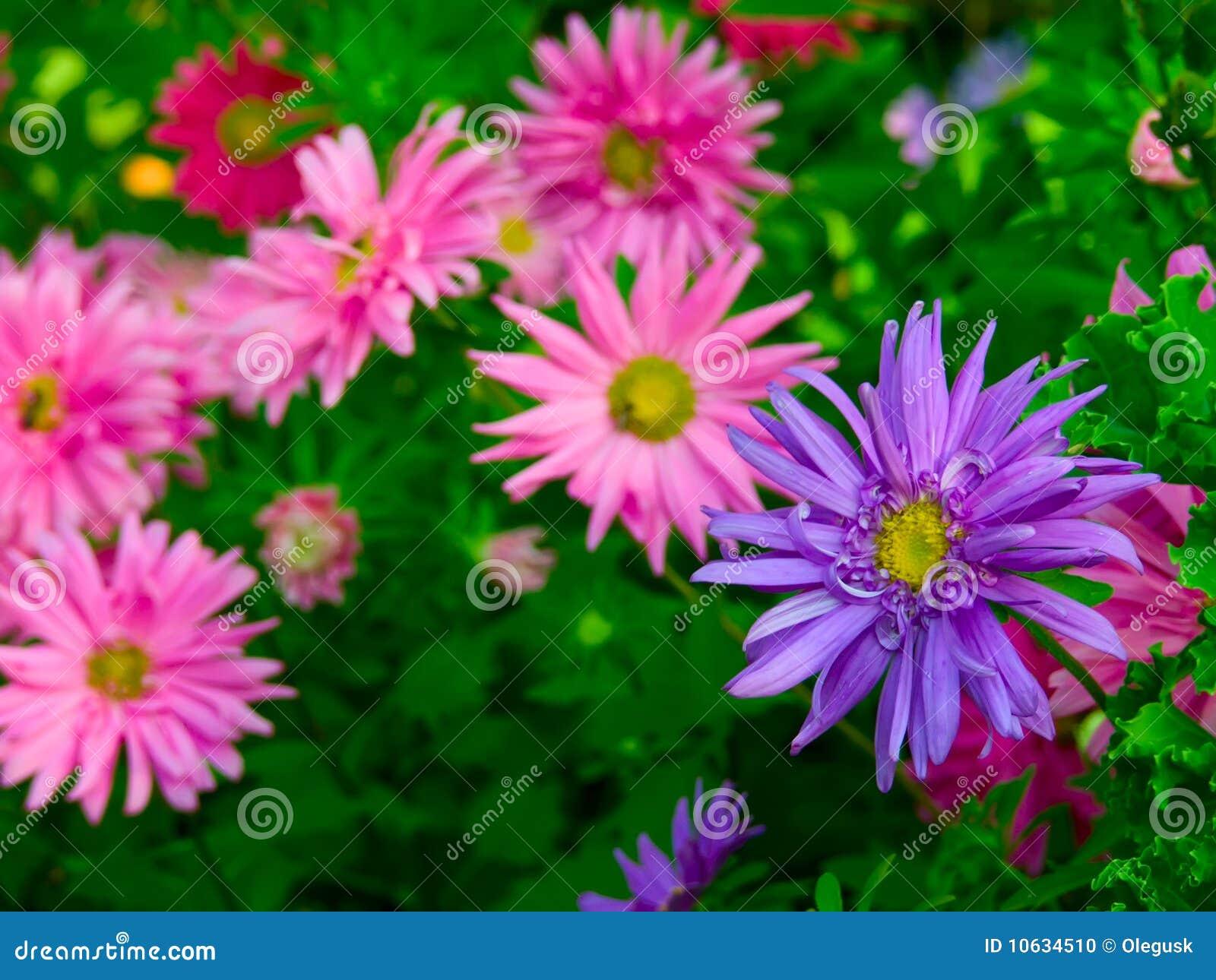 Fleurs d 39 aster dans un jardin photo stock image du for Fleurs dans un jardin