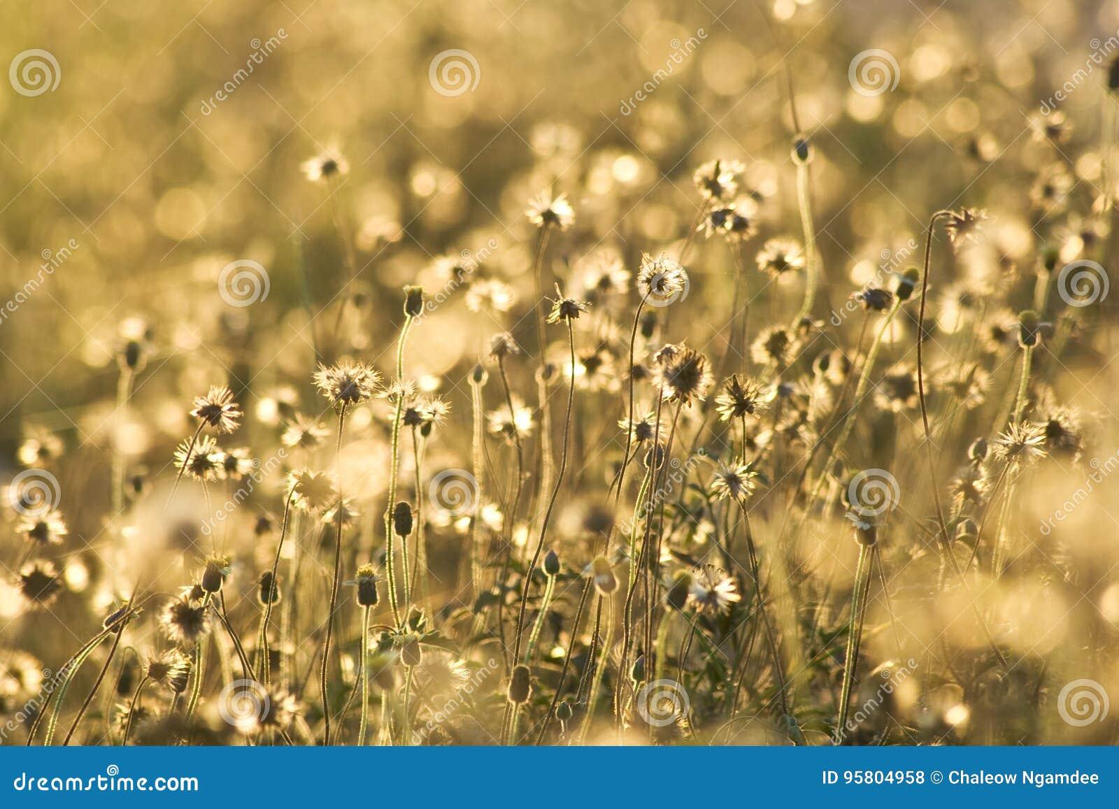 Fleurs d or d herbe