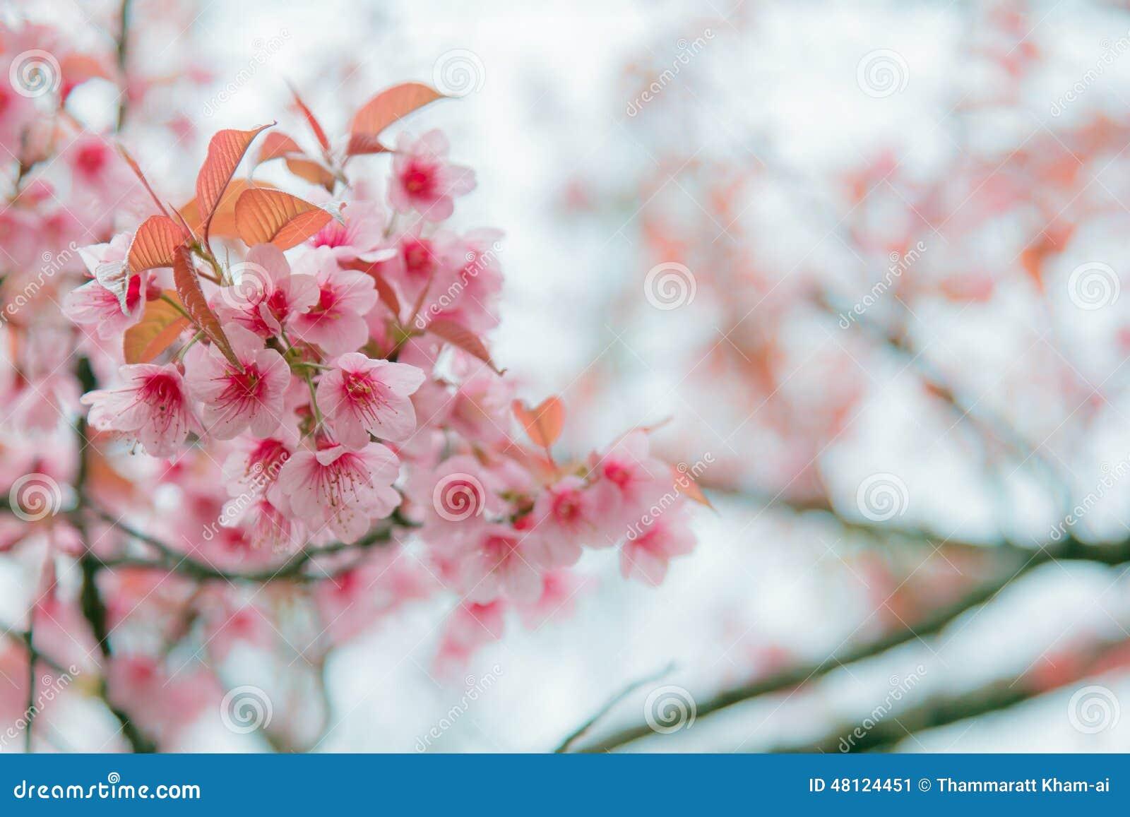 fleurs d 39 hiver image stock image du rose himalayan. Black Bedroom Furniture Sets. Home Design Ideas