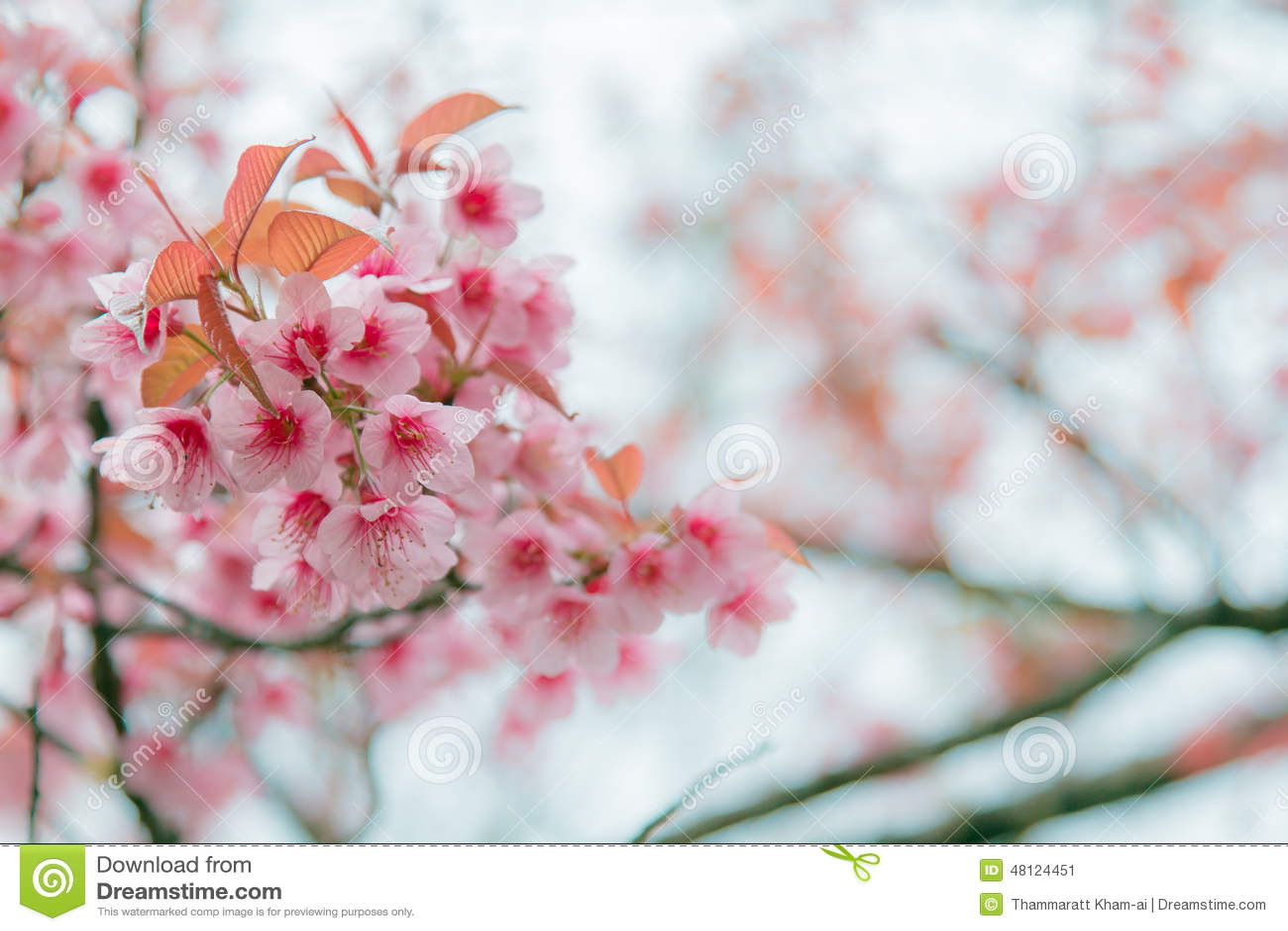 fleurs d 39 hiver image stock image du himalayan floraison 48124451. Black Bedroom Furniture Sets. Home Design Ideas