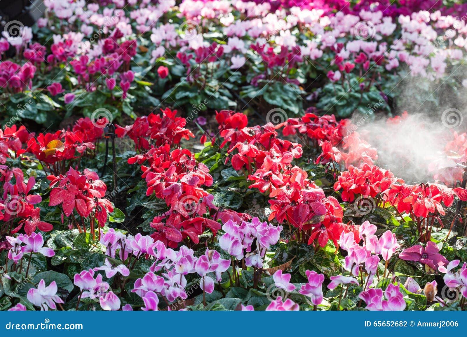 fleurs d 39 hiver fleurs de cyclamen dans un jardin photo stock image 65652682. Black Bedroom Furniture Sets. Home Design Ideas