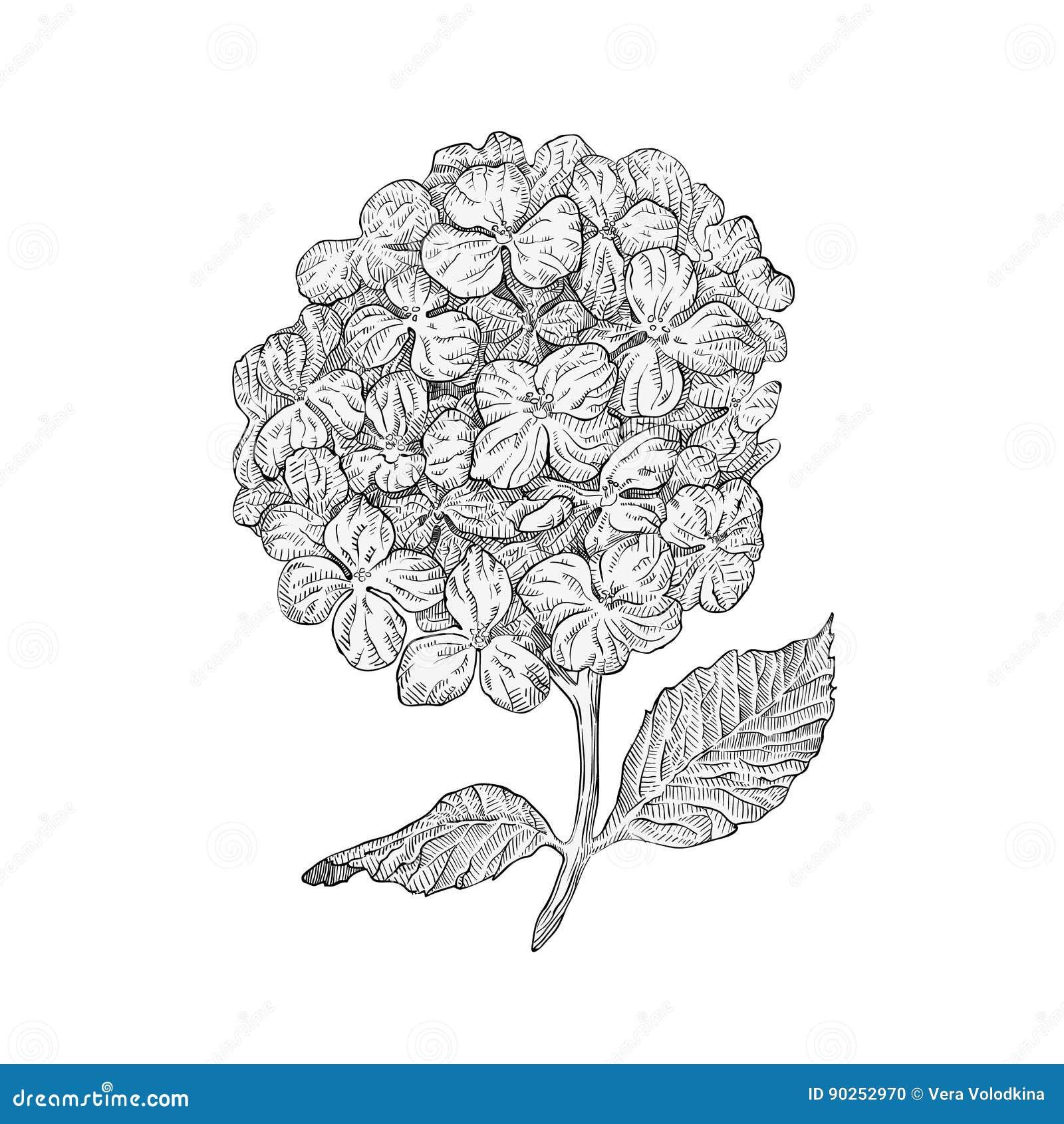 Fleurs D Hortensia D Isolement Sur Le Fond Blanc Dessin Grave Par