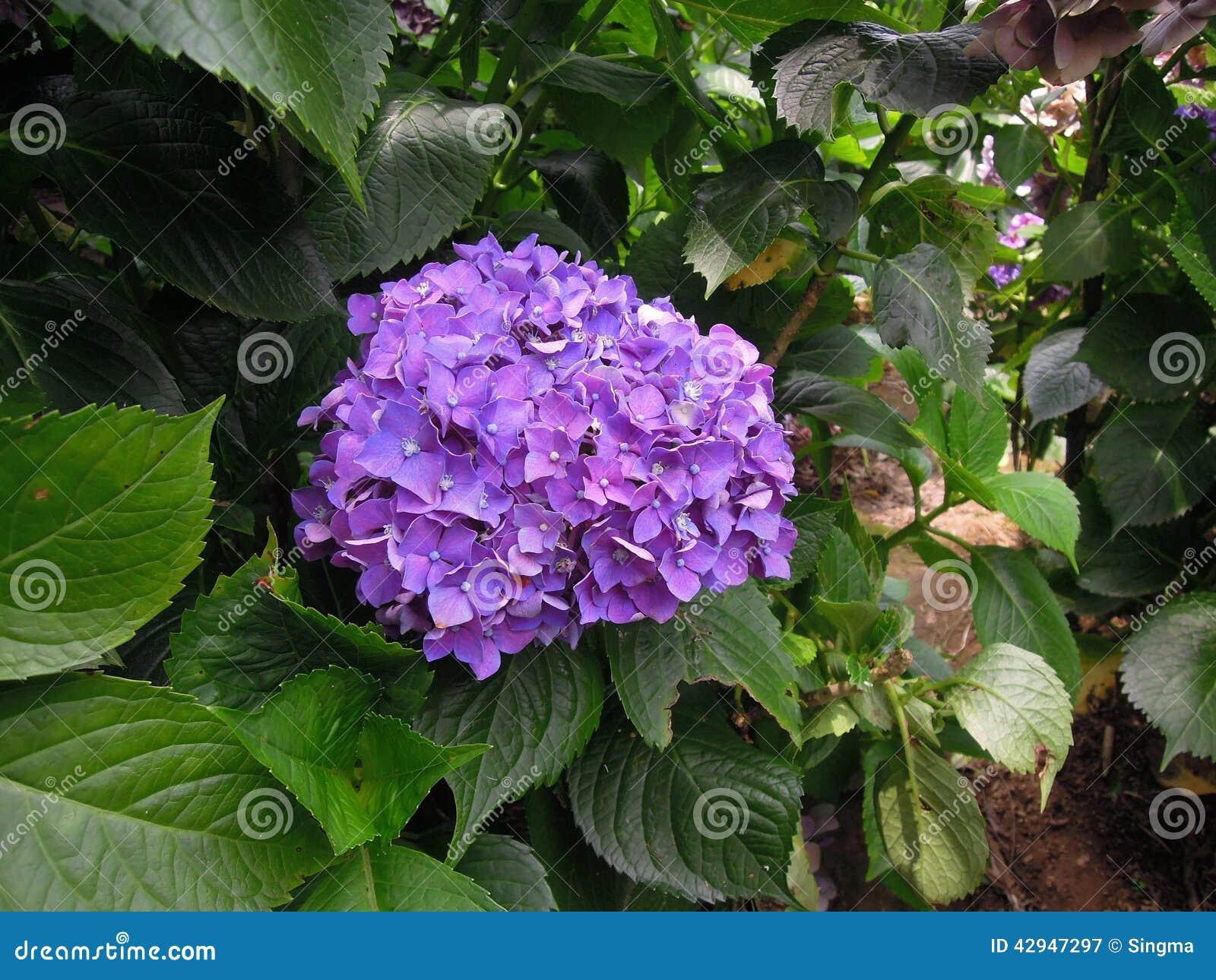 fleurs d 39 hortensia de boule forme de violet purple image stock image du hydrangea botanique. Black Bedroom Furniture Sets. Home Design Ideas