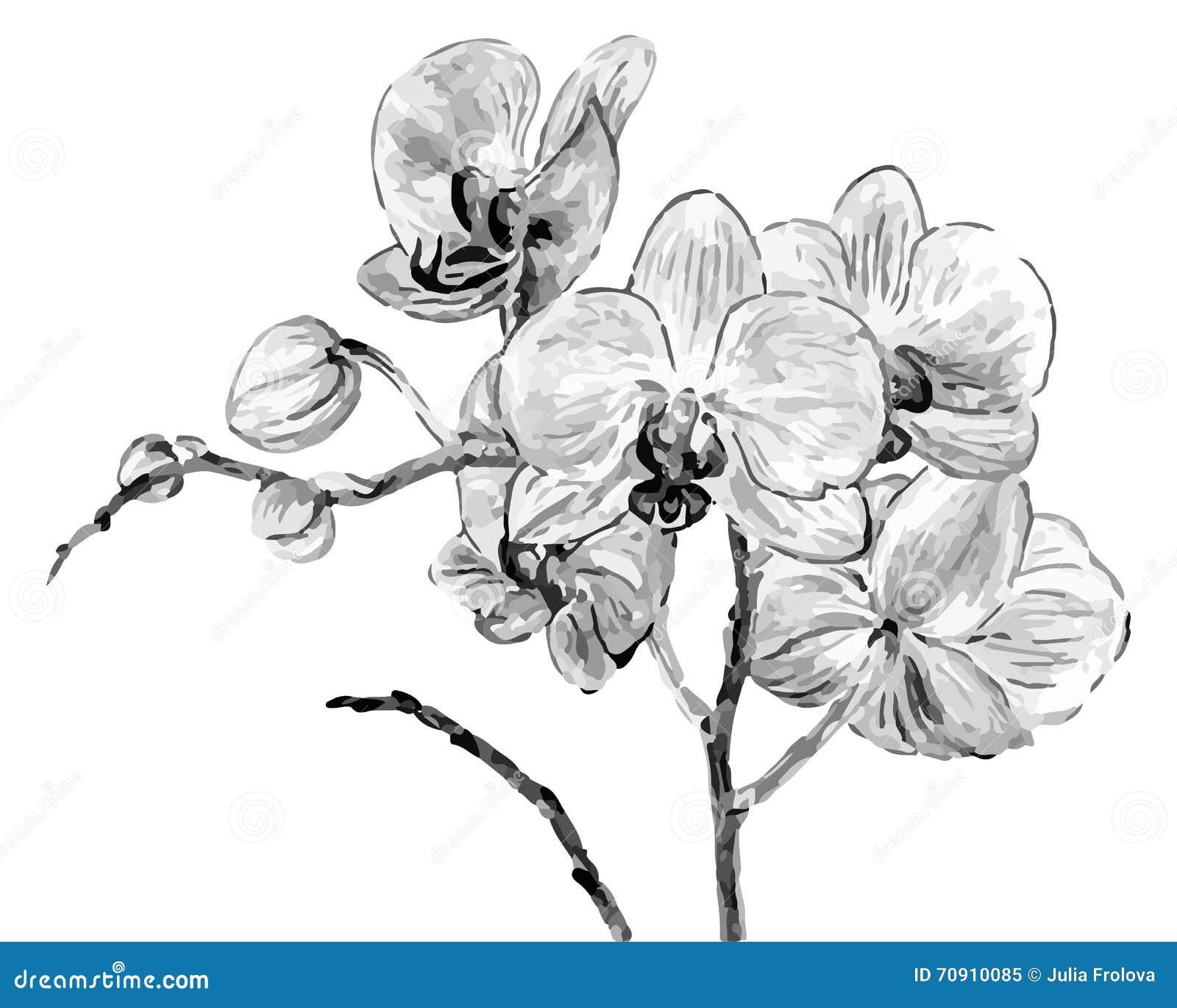 Fleurs d 39 orchid e de dessin de main illustration de vecteur illustration du gris image 70910085 - Dessin d orchidee ...