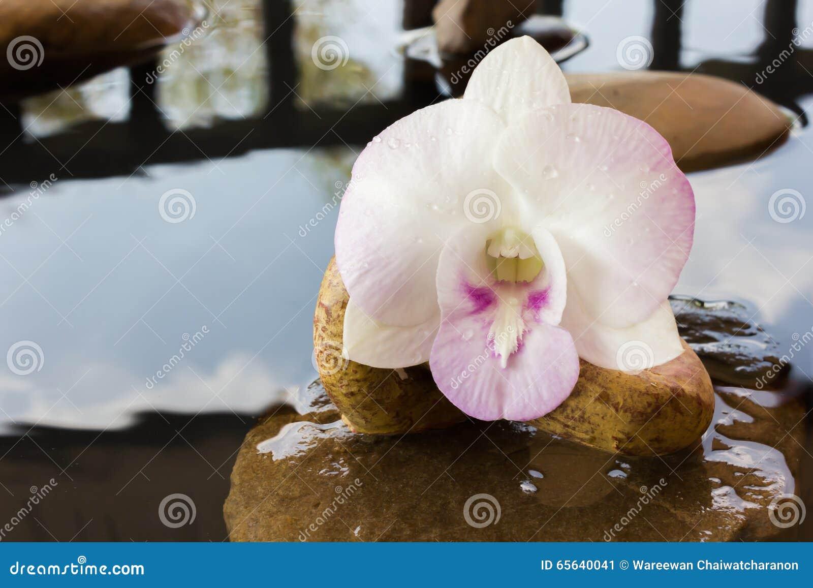 Fleurs d orchidée sur l eau et le caillou