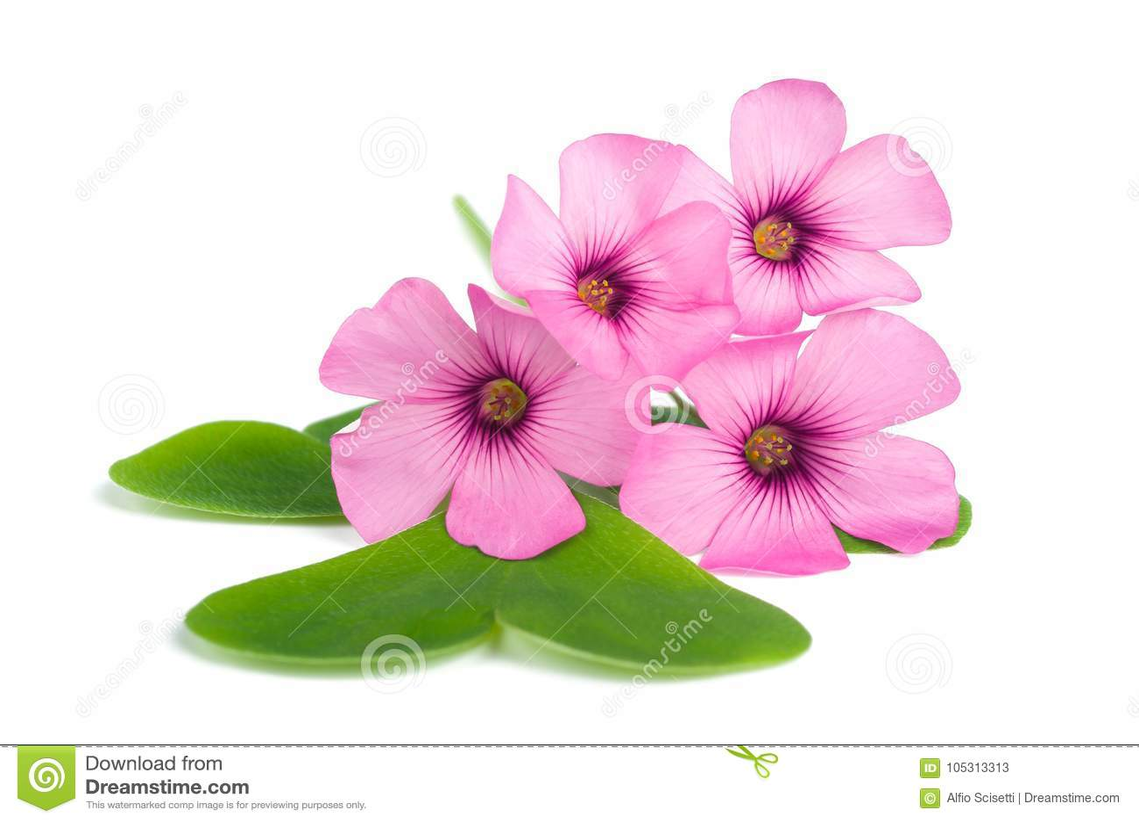 Fleurs d oxalide blanche petite oseille