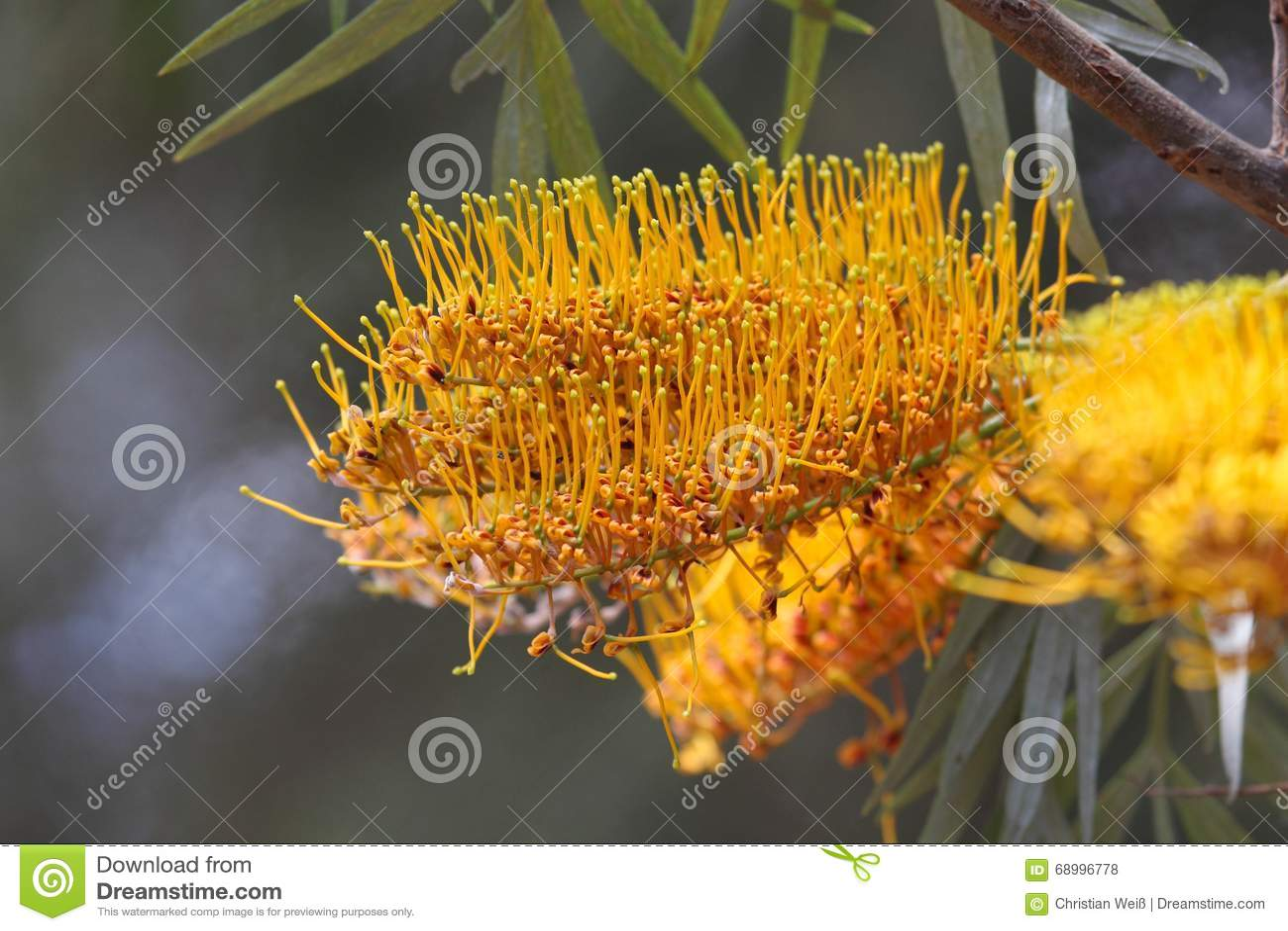 Fleurs D Un Chene Soyeux Ou Argente Photo Stock Image Du Ecologie