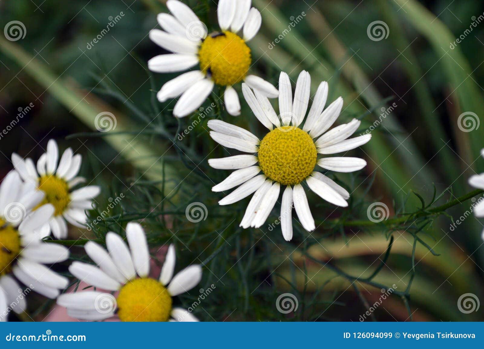 Fleurs d une camomille Ils sont beaux dans leur simplicité