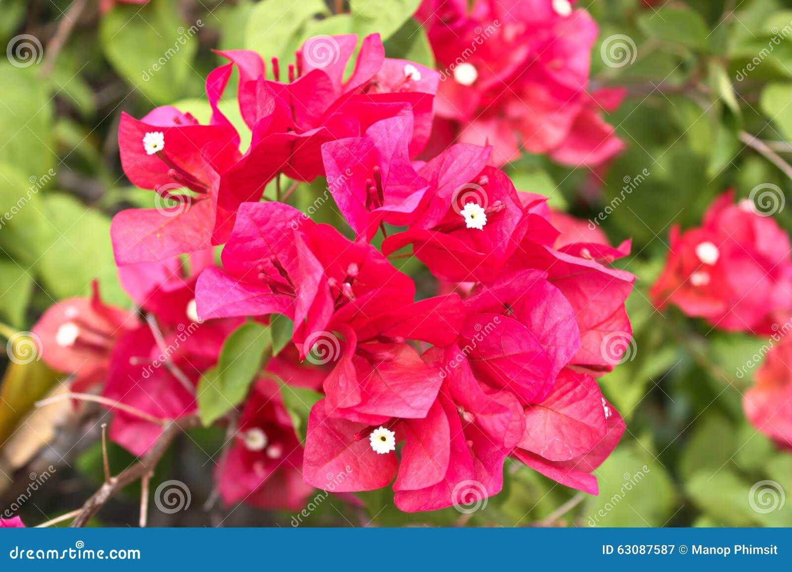 Download Fleurs de bouganvillée image stock. Image du rose, ressort - 63087587