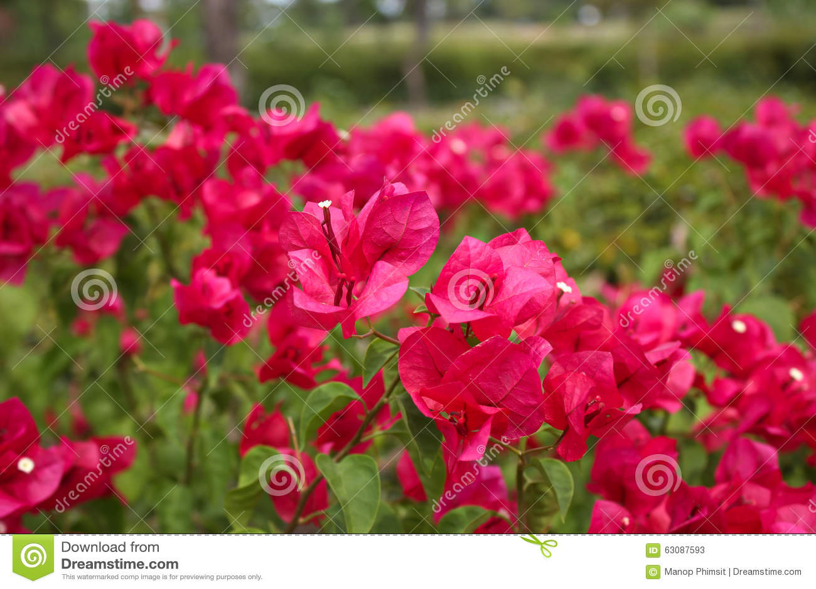 Download Fleurs de bouganvillée image stock. Image du pourpré - 63087593