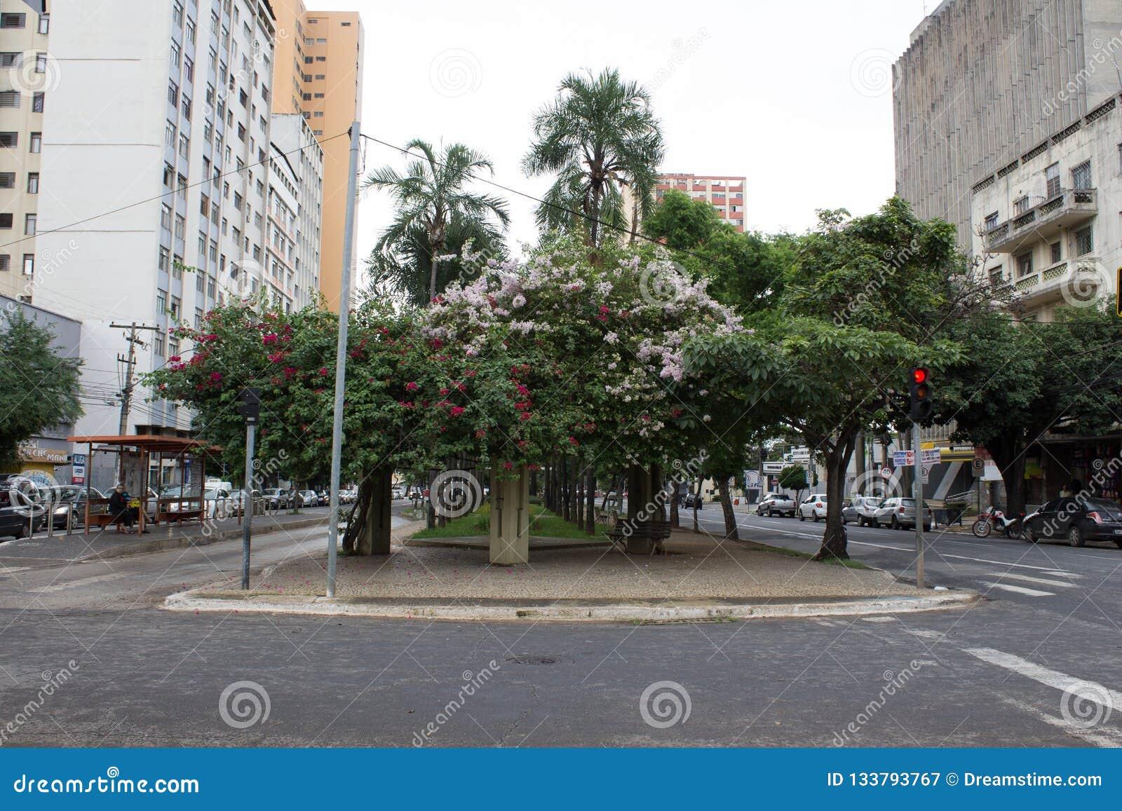 Fleurs de bouganvillée sur l avenue de Goias, Goiania/Brésil