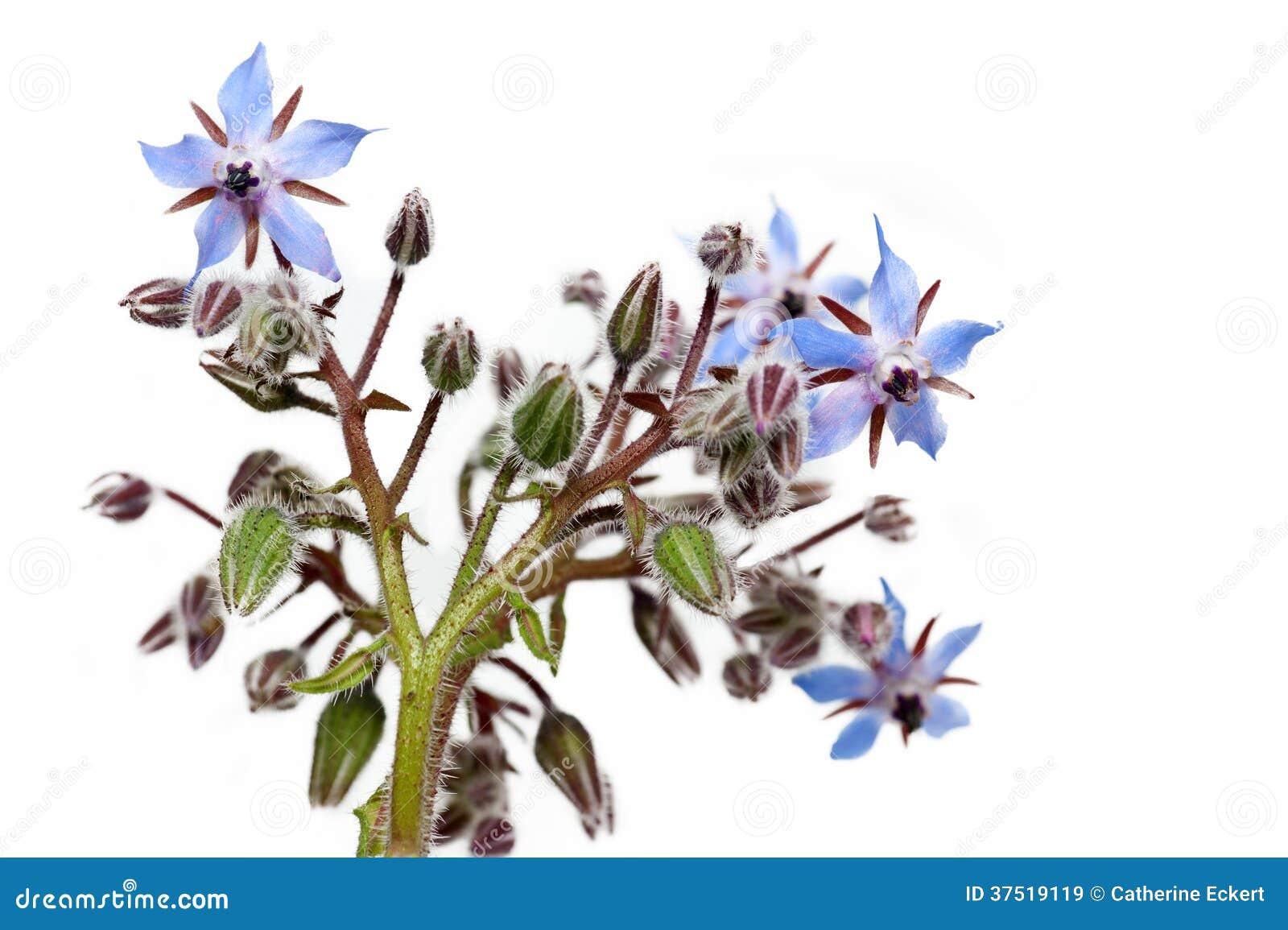 Fleurs De Bourrache Images libres de droits - Image: 37519119