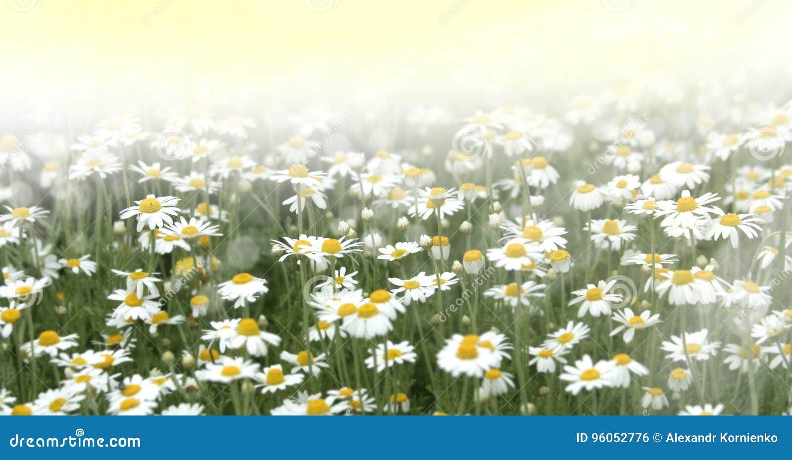 Fleurs de camomille sauvage sur un champ
