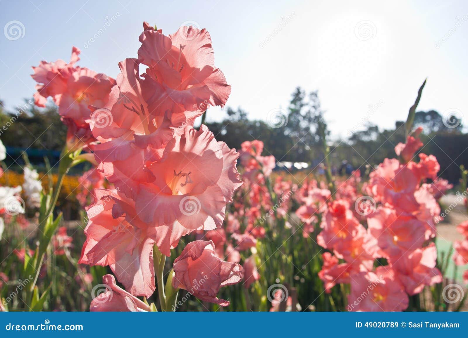 Fleurs de canna dans le jardin for Fleurs dans le jardin