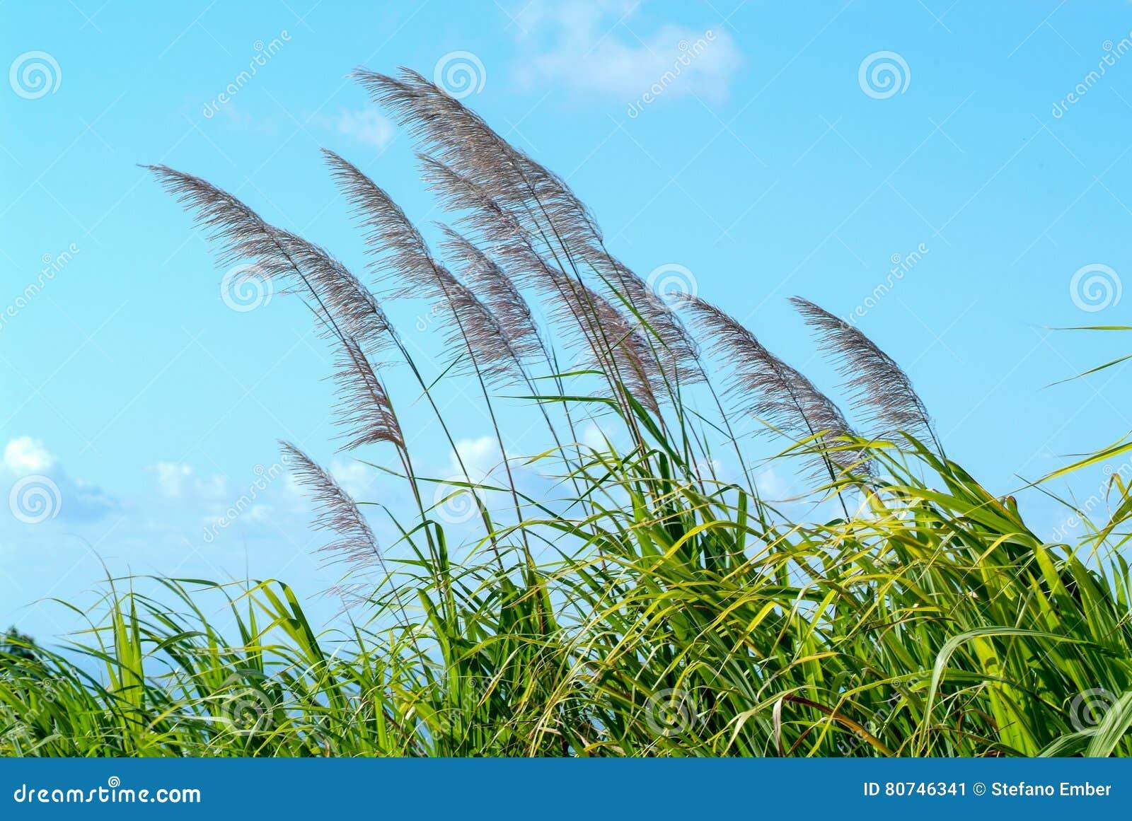 Fleurs de canne à sucre dans le vent
