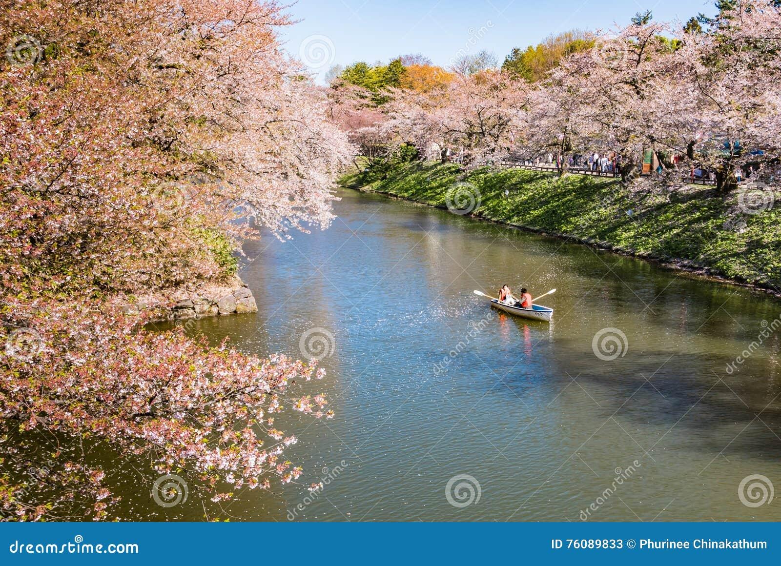 Fleurs de cerisier au parc de château de Hirosaki