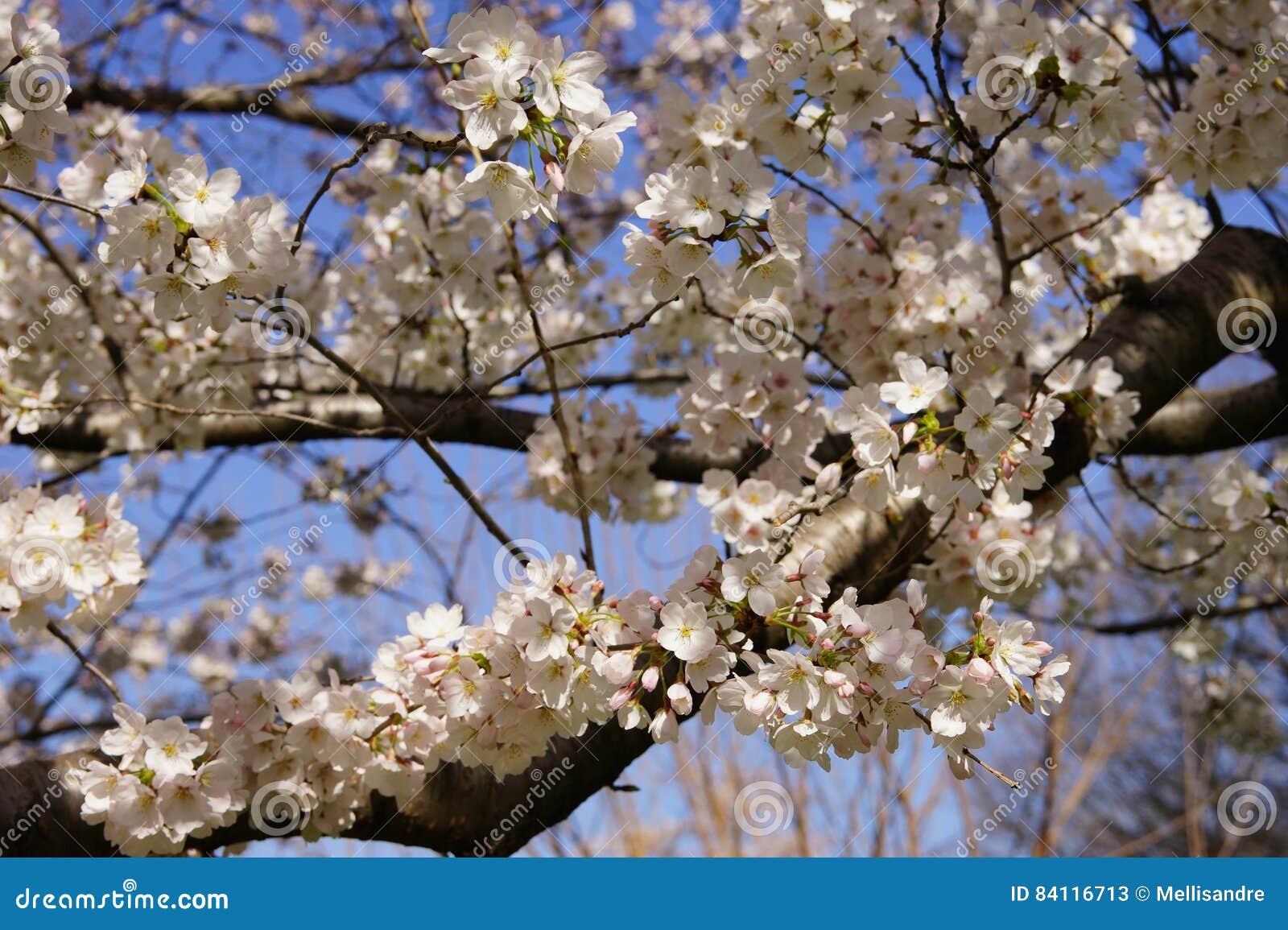Fleurs De Cerisier Blanches Lumineuses Sur Une Grande Branche Au
