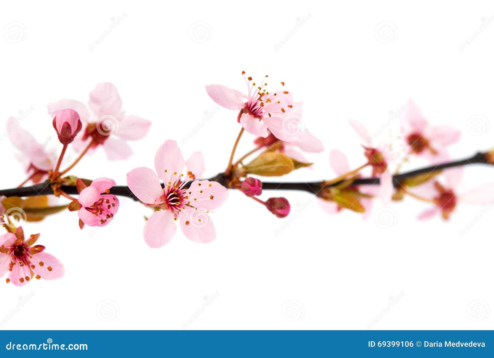Fleurs De Cerisier De Ressort D Isolement Sur Le Fond Blanc Photo