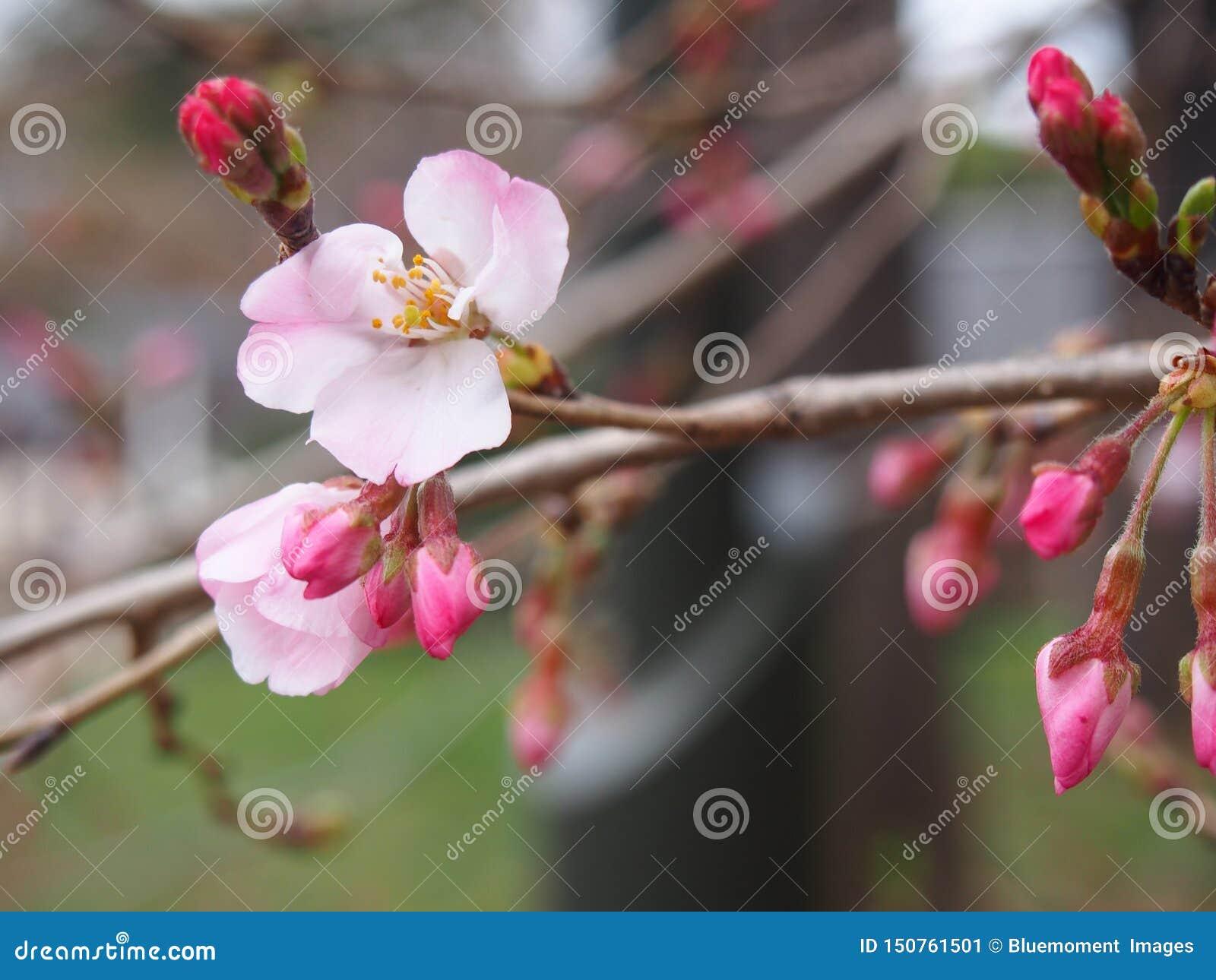 Fleurs de cerisier environ à fleurir fleurs et bourgeons