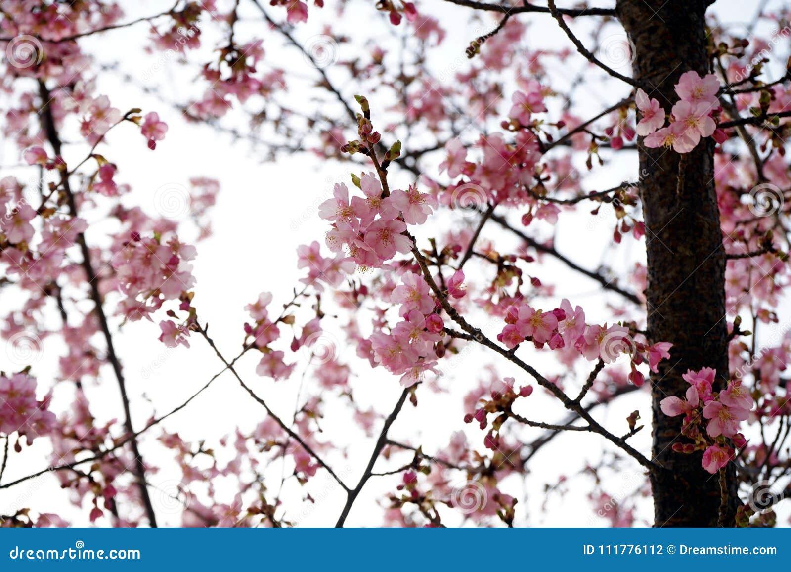 Fleurs de cerisier mignonnes avec le fond dispersé