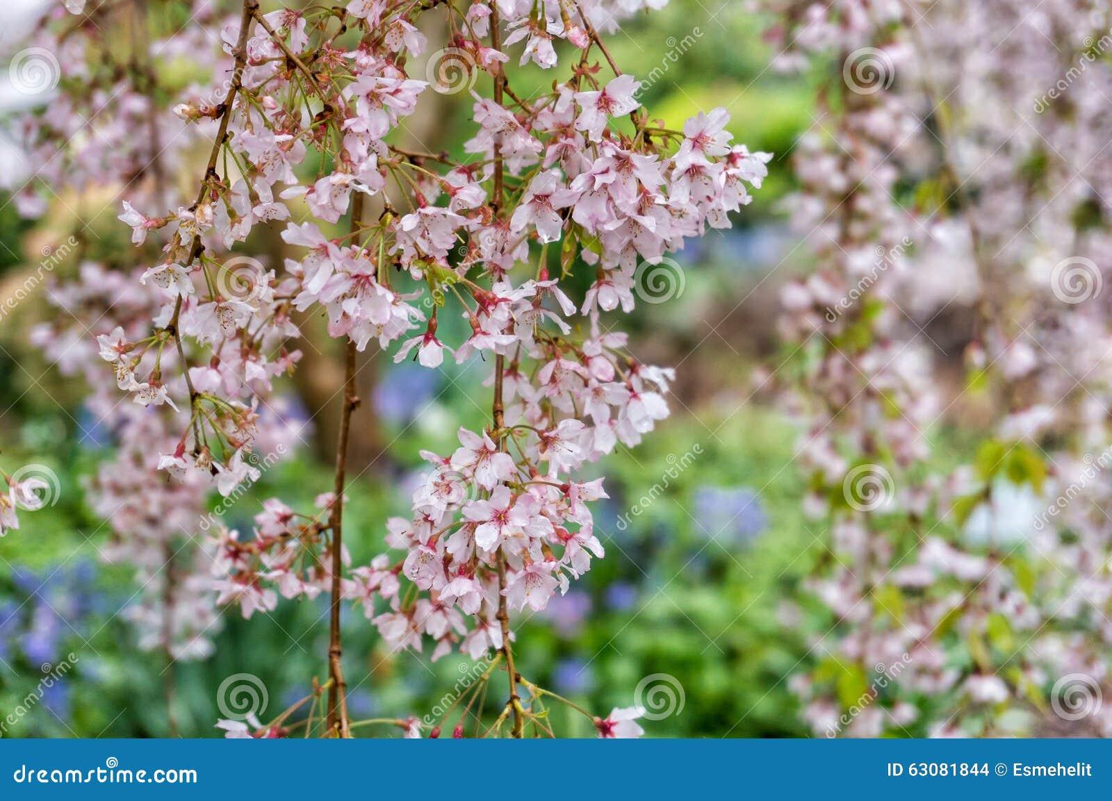 Download Fleurs De Cerisier Ou Sakura Photo stock - Image du nature, japonais: 63081844