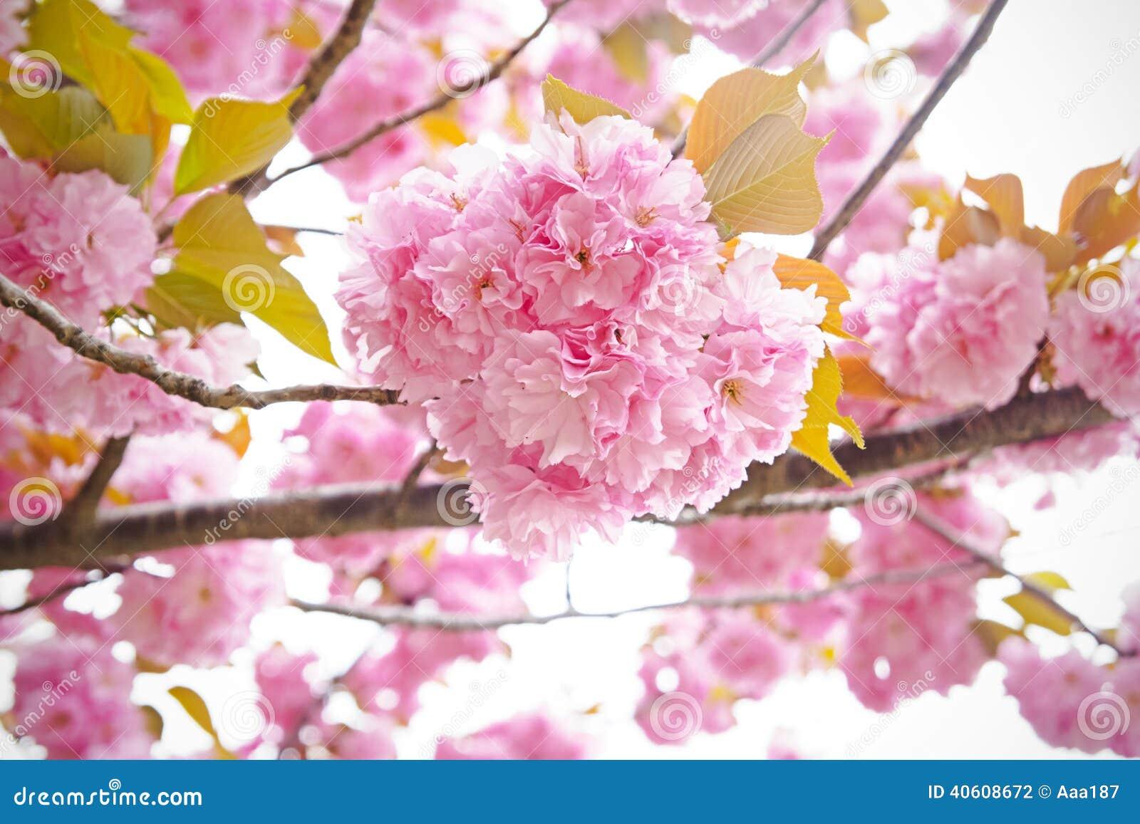 Fleurs de cerisier, Sakura