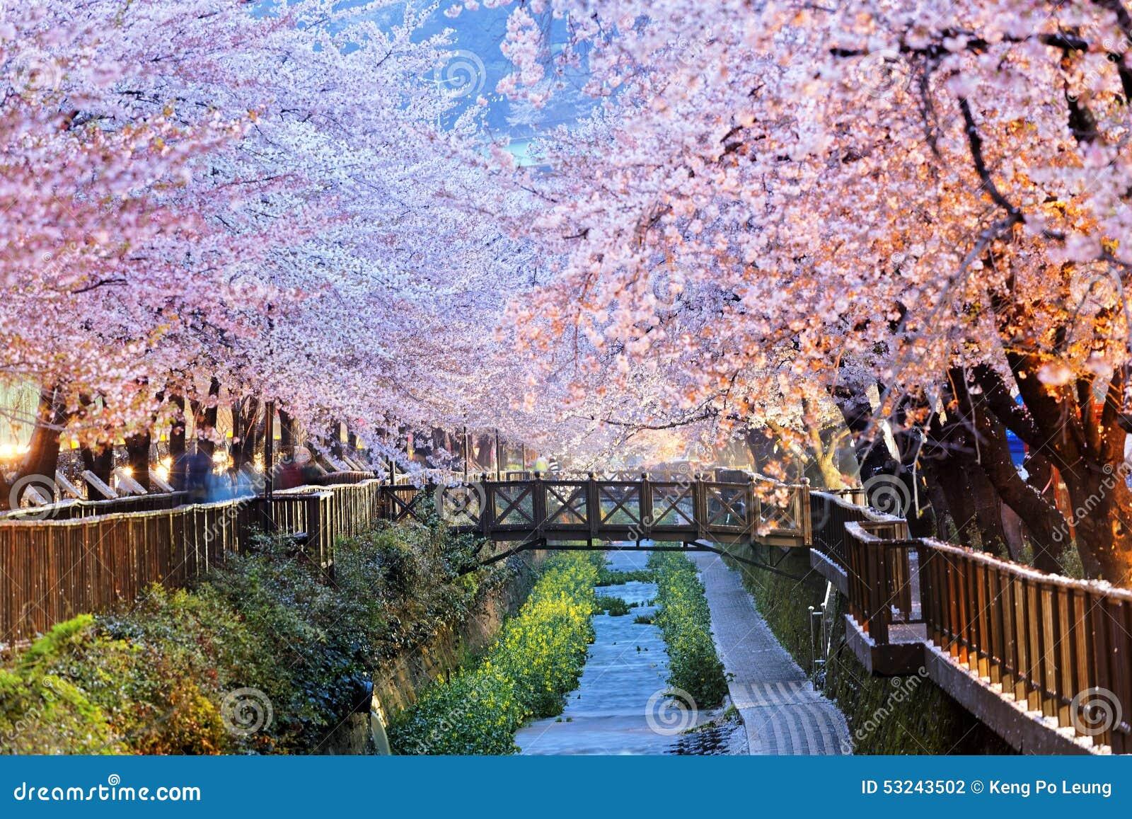 fleurs de cerisier ville de busan en cor e du sud photo stock image 53243502. Black Bedroom Furniture Sets. Home Design Ideas