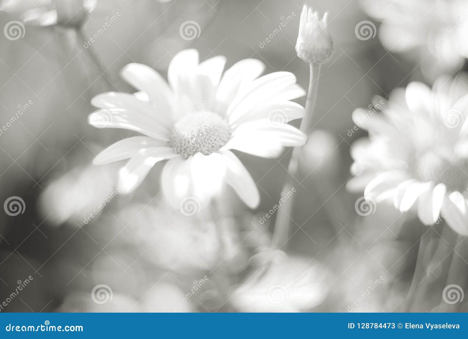 Fleurs de chrysanthème comme fin de fond  Orientation sélectrice molle Rebecca 36