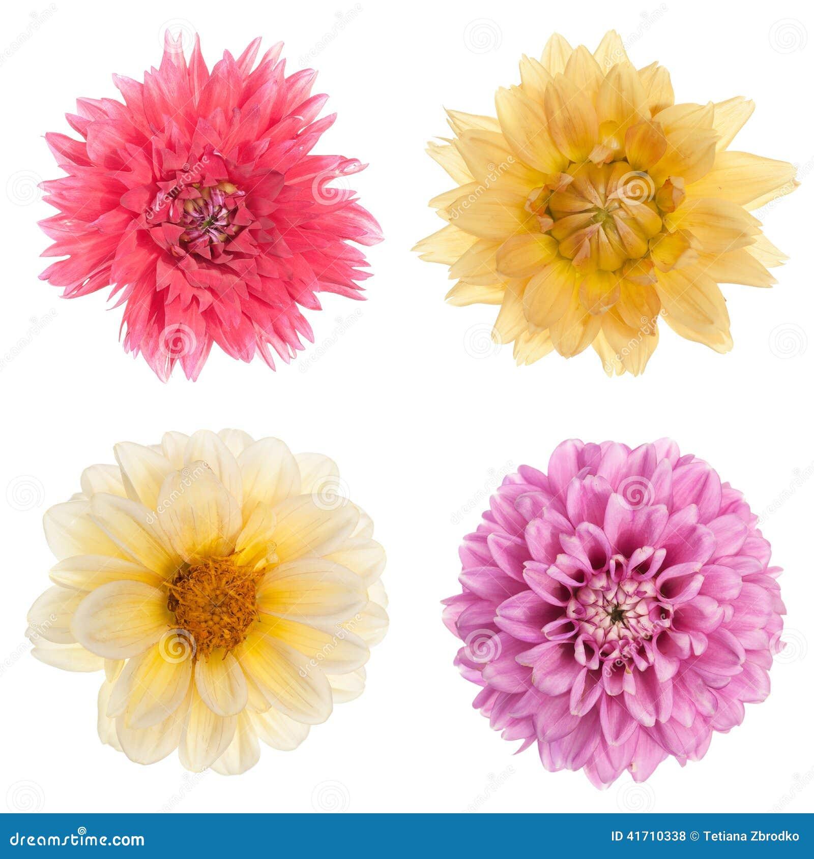 fleurs de chrysanth me de vari t photo stock image 41710338. Black Bedroom Furniture Sets. Home Design Ideas