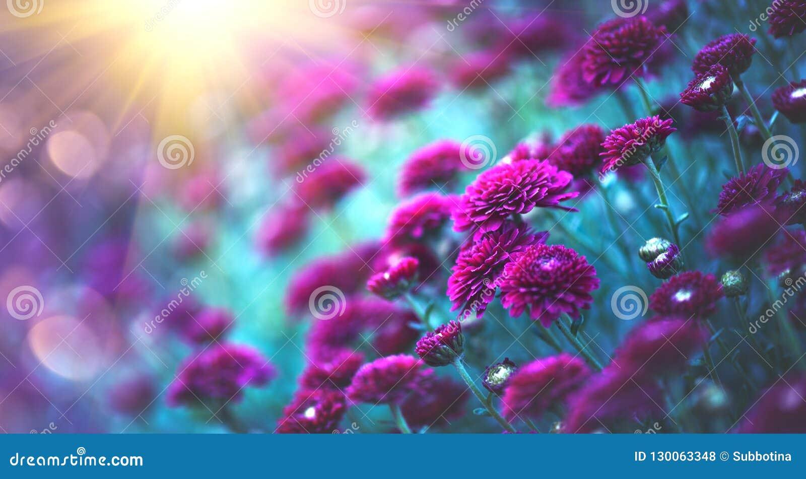 Fleurs De Chrysanthème Fleurissant Dans Un Jardin Fleurs D\'automne ...