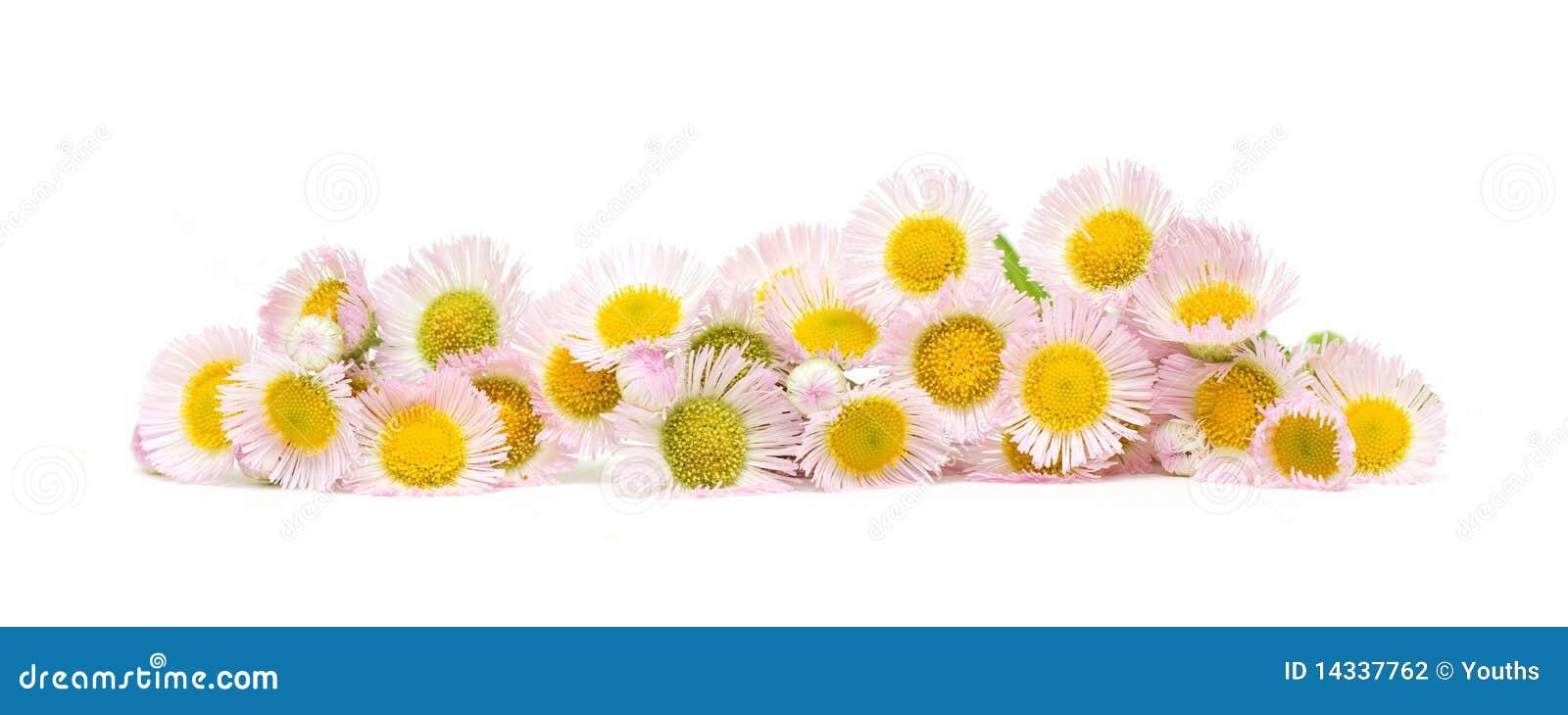 Fleurs de chrysanthemum