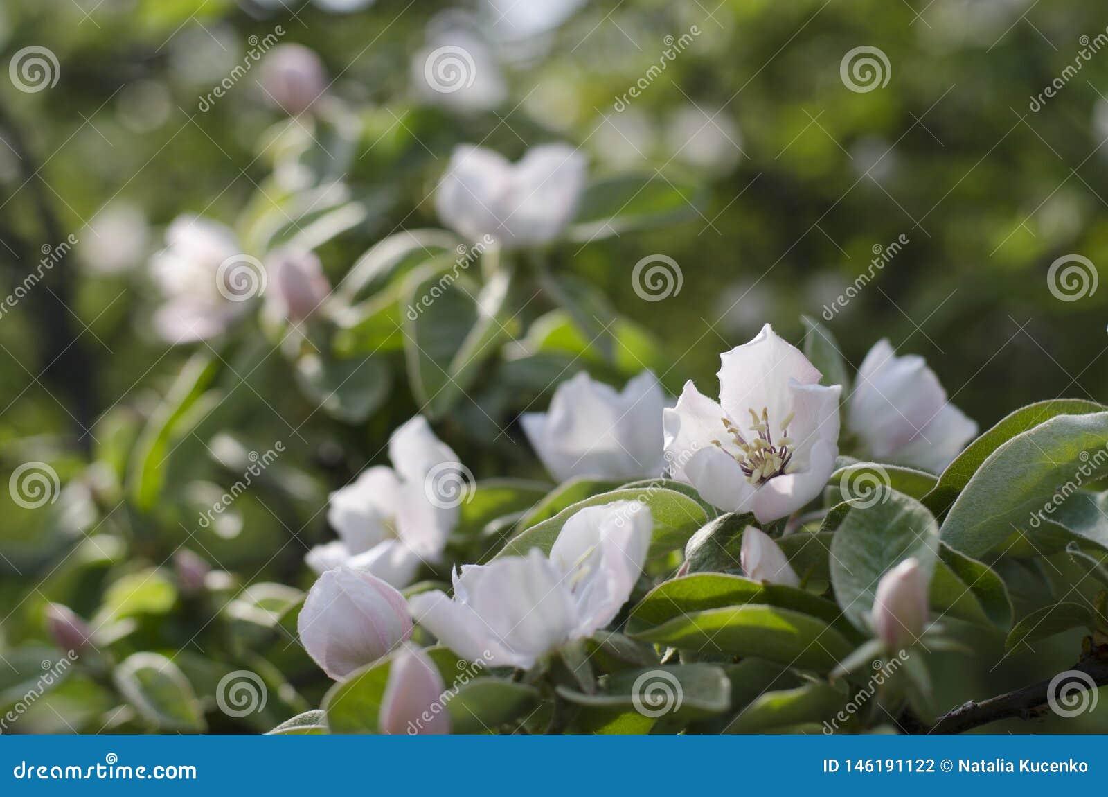 Fleurs de coing d Apple