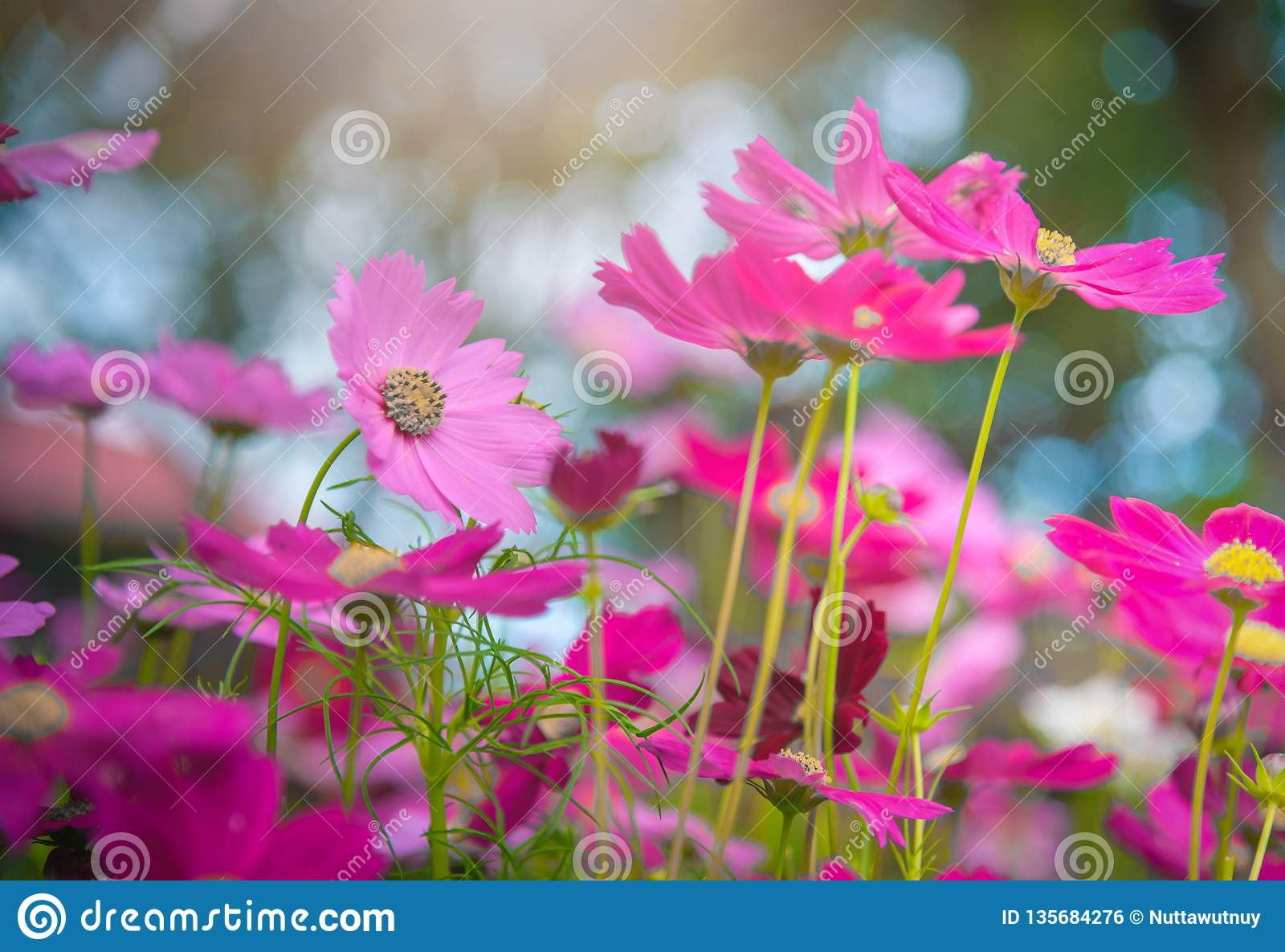 Fleurs De Cosmos Dans Le Jardin Avec La Lumière Du Soleil Ton De ...