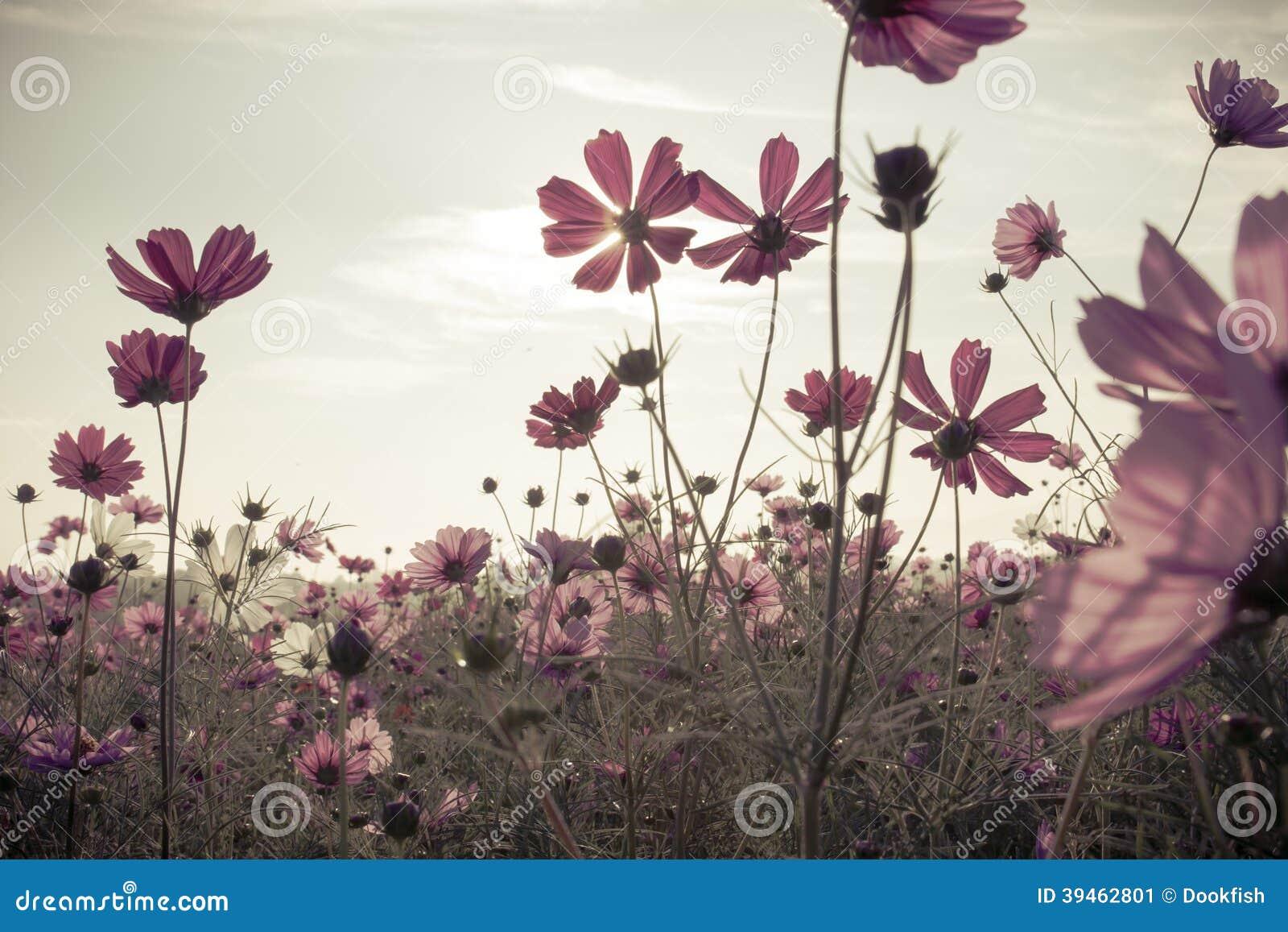 Fleurs de cosmos de vintage dans le temps de coucher du soleil