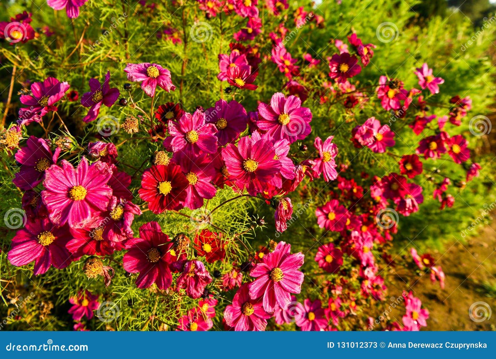 Fleurs De Cosmos, Jardin D\'automne Fleurissant Toujours Image stock ...