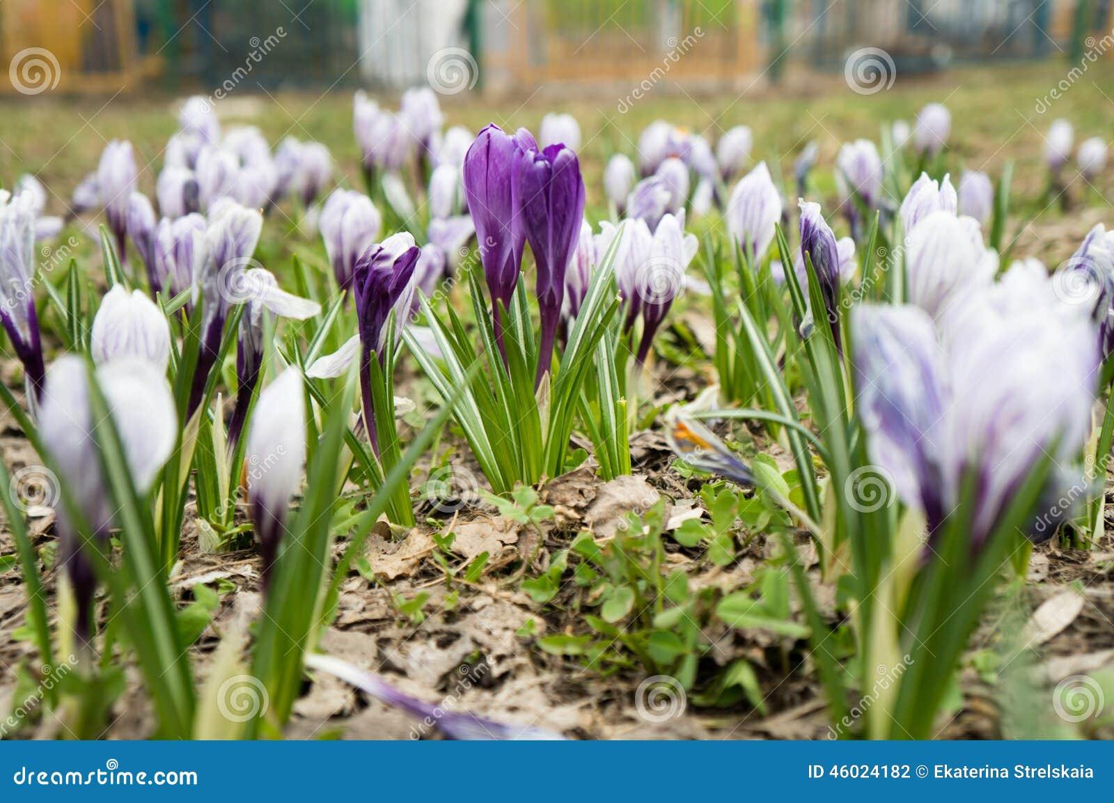 Fleurs De Crocus Pourpre Perce Neige Photo Stock Image Du