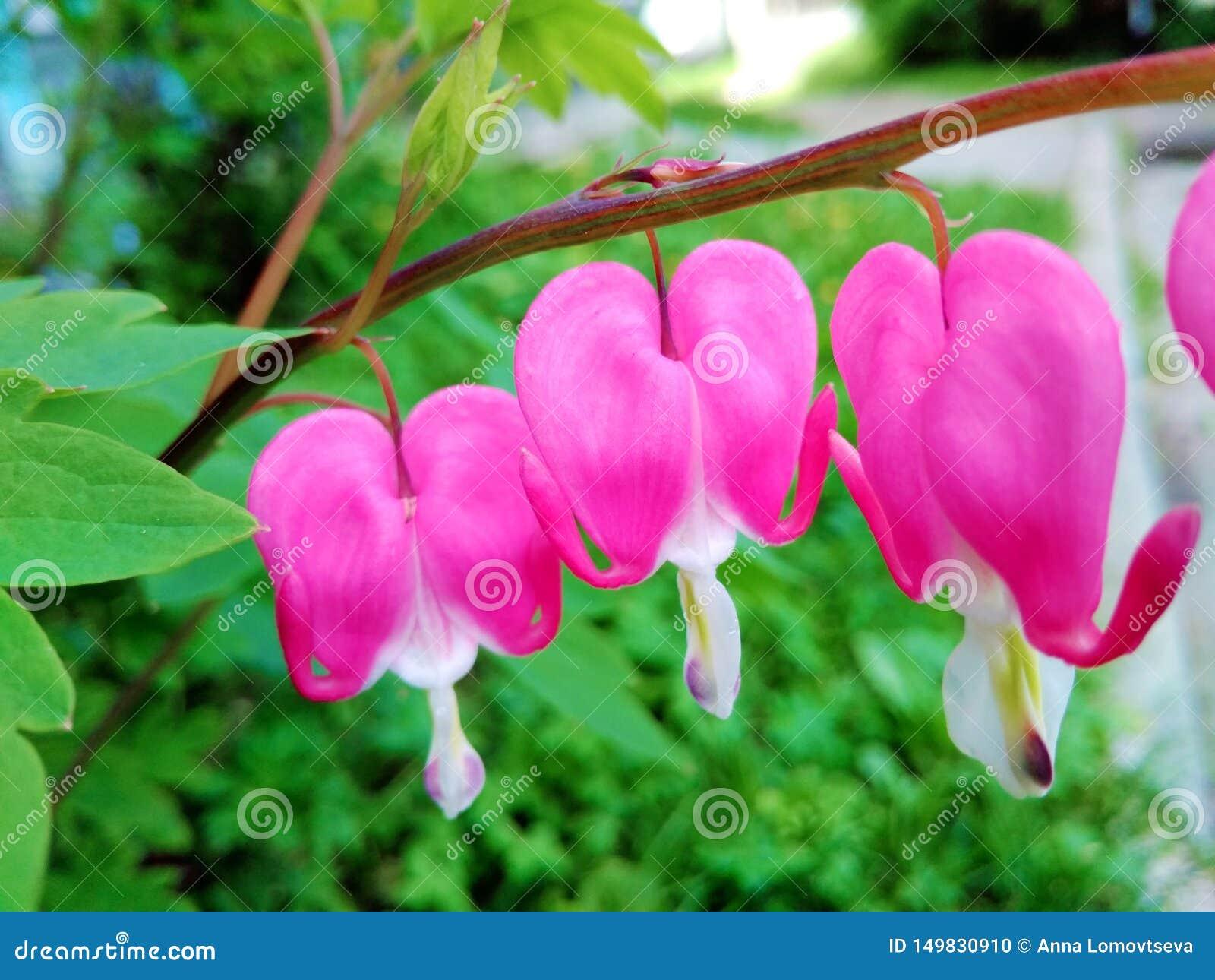 Fleurs de Dicentra