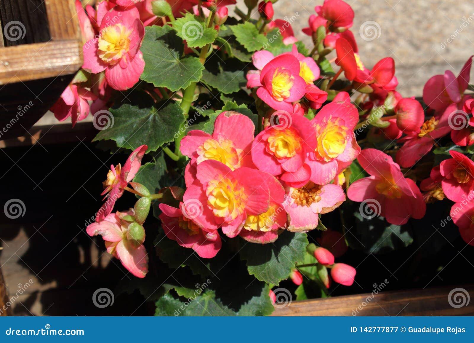 Fleurs de différentes couleurs qui peuvent être employées pour décorer la maison, le bureau et d autres endroits Ils peuvent égal
