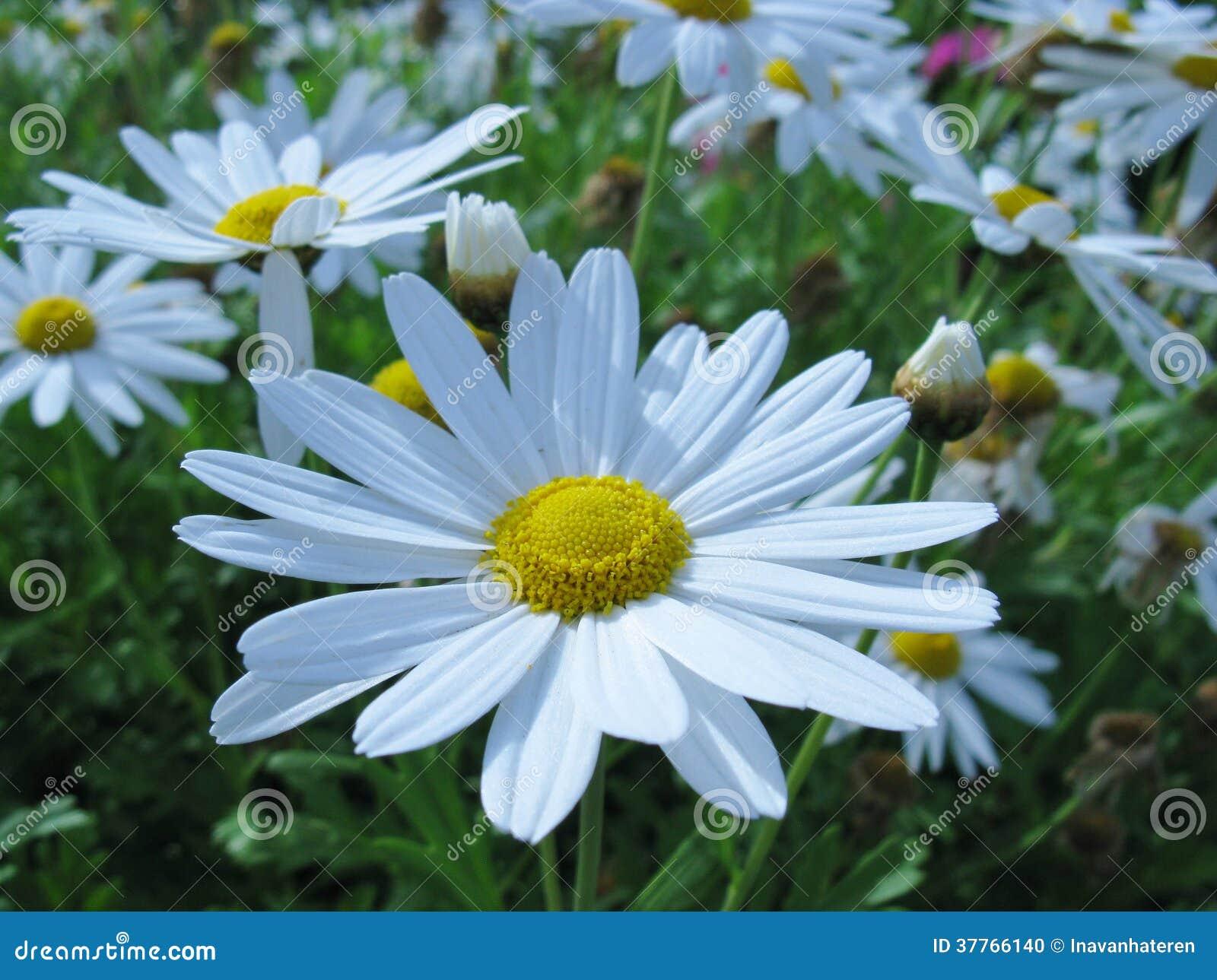 fleurs de floraison de marguerite des pr s de blanc photo stock image 37766140. Black Bedroom Furniture Sets. Home Design Ideas